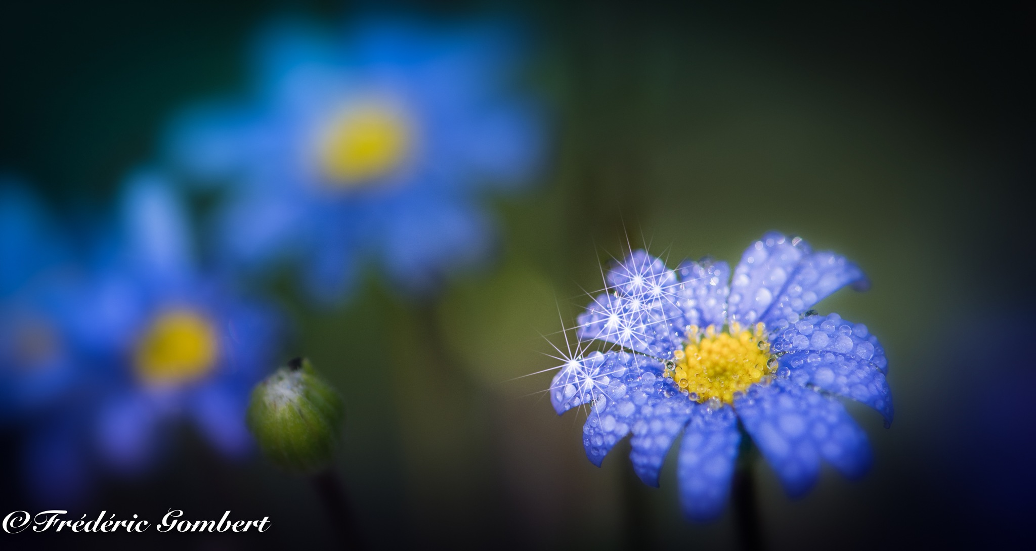 Stars in the morning light by Frederic Gombert