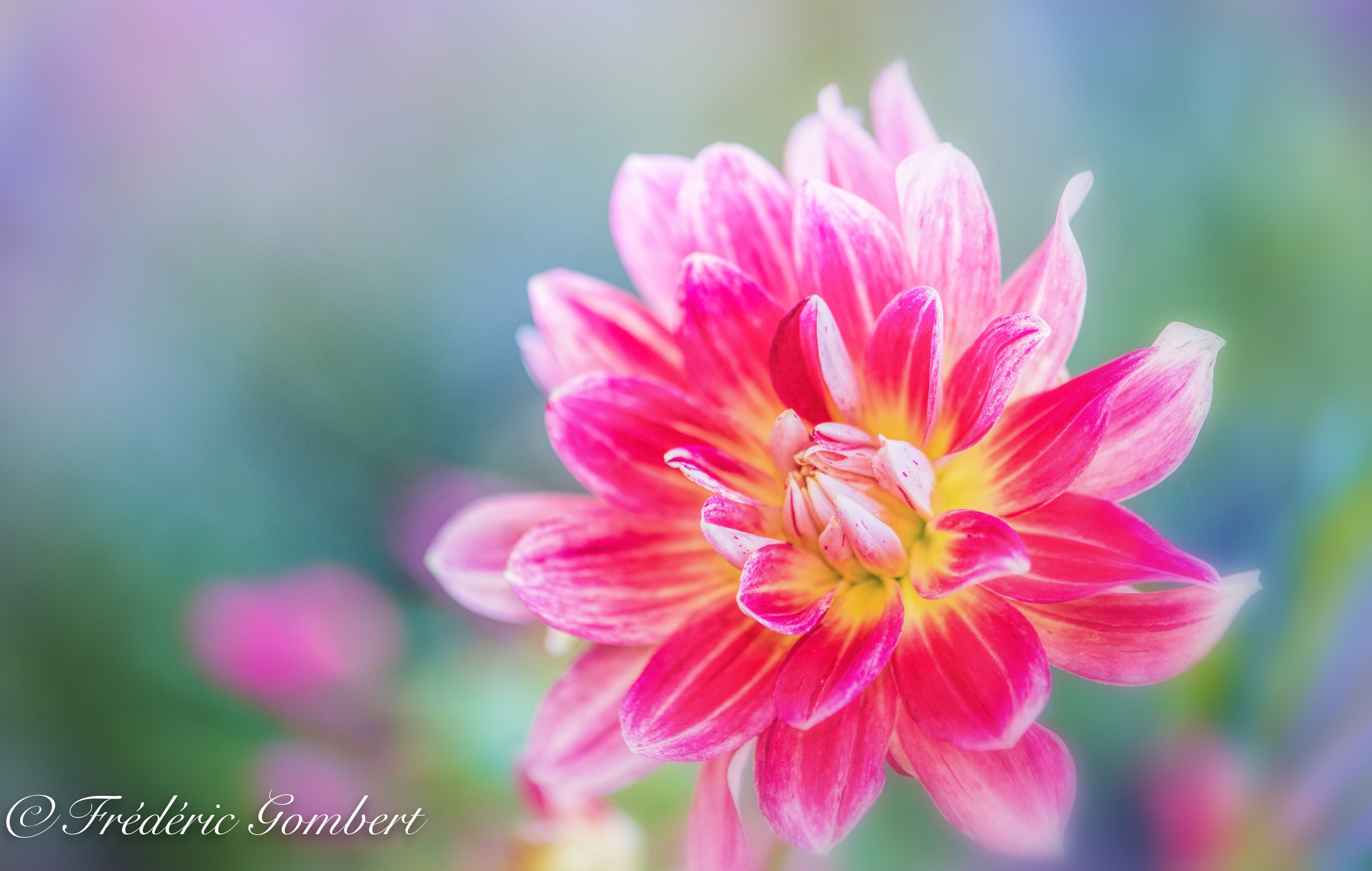 pink portrait by Frederic Gombert