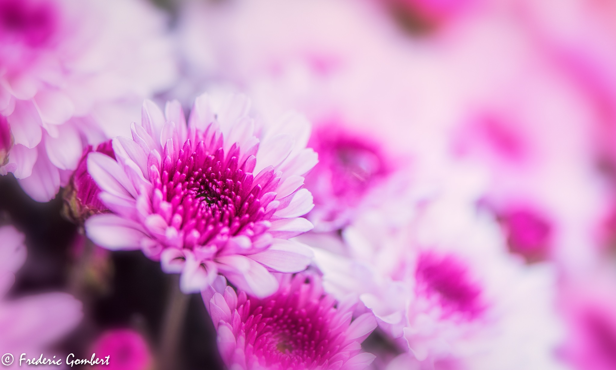Pink bunch of Autumn by Frederic Gombert