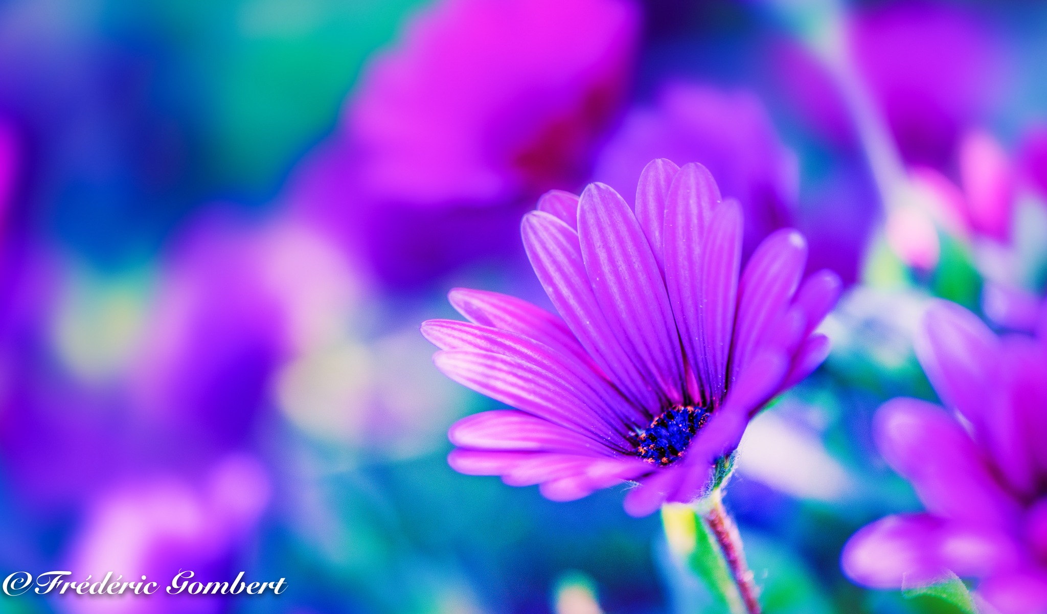 Pink burning ember by Frederic Gombert