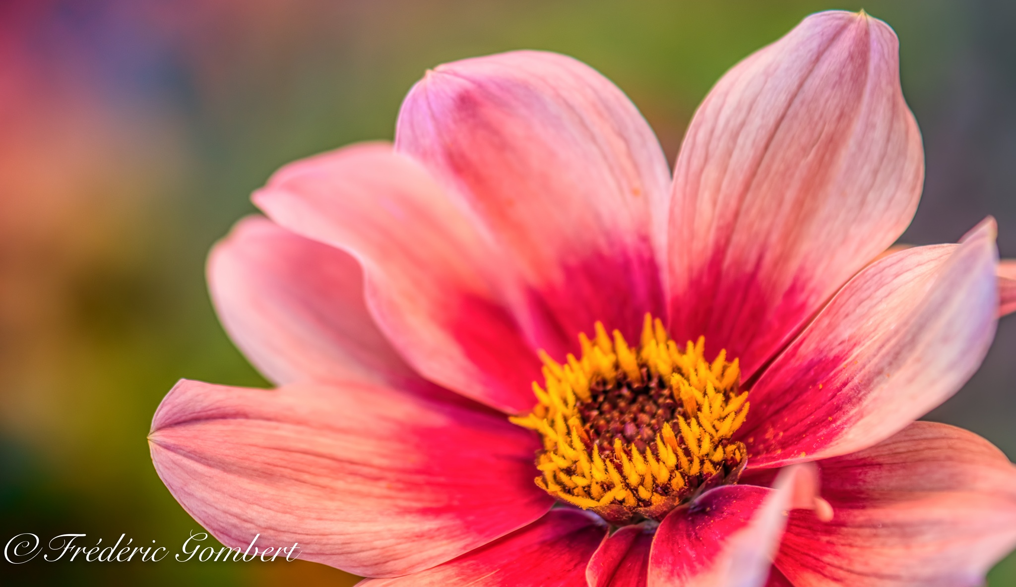 pinky summer by Frederic Gombert