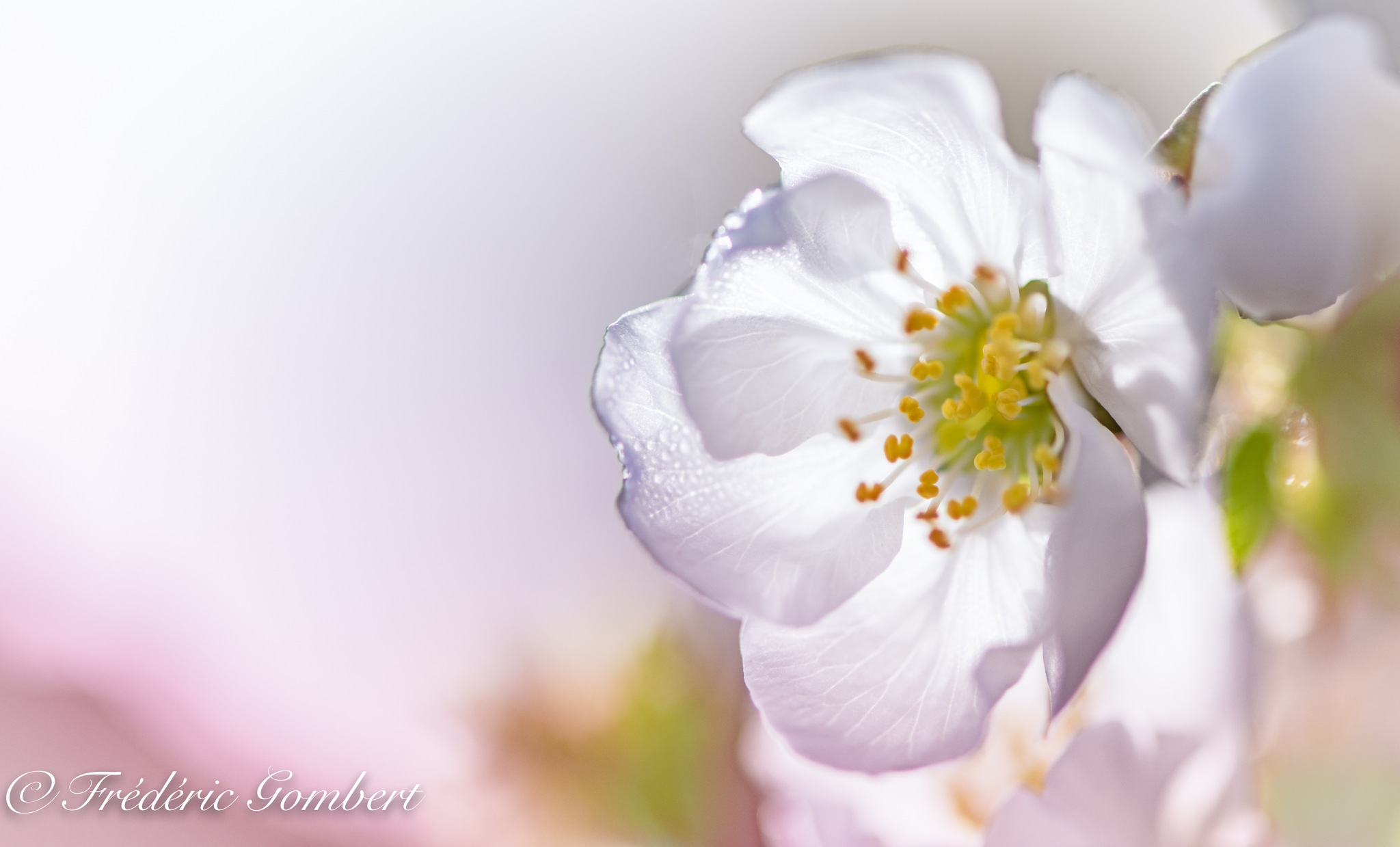Morning White by Frederic Gombert