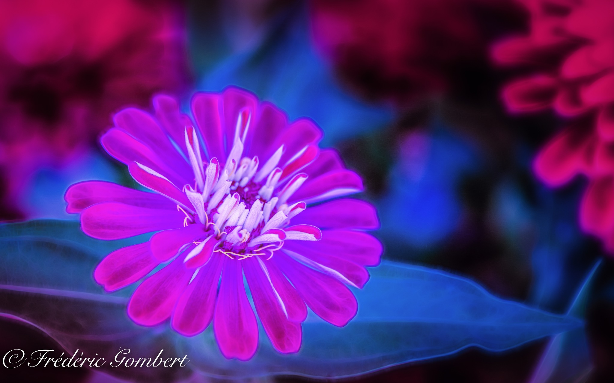 Blue and Pink by Frederic Gombert