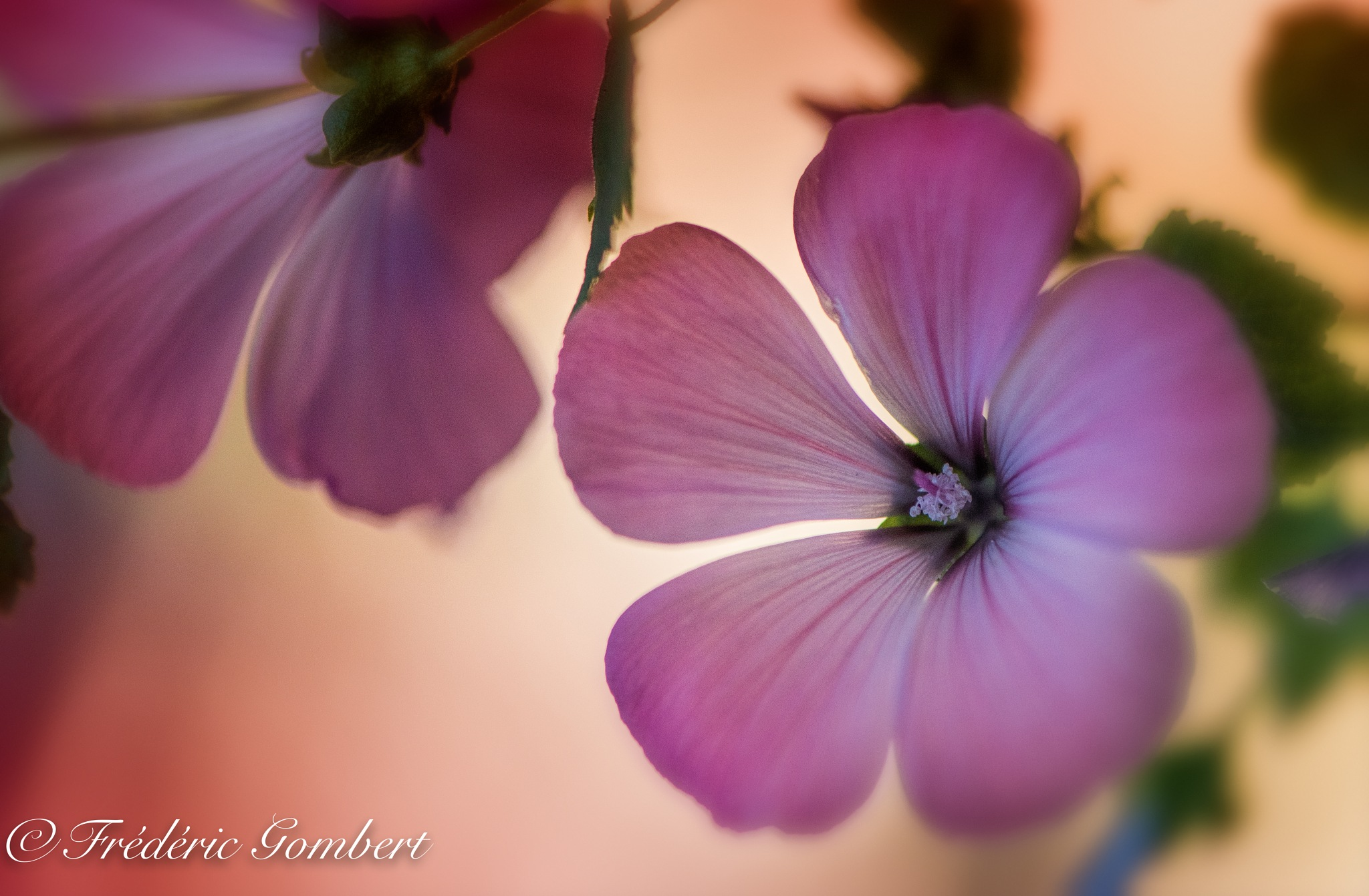pink light by Frederic Gombert