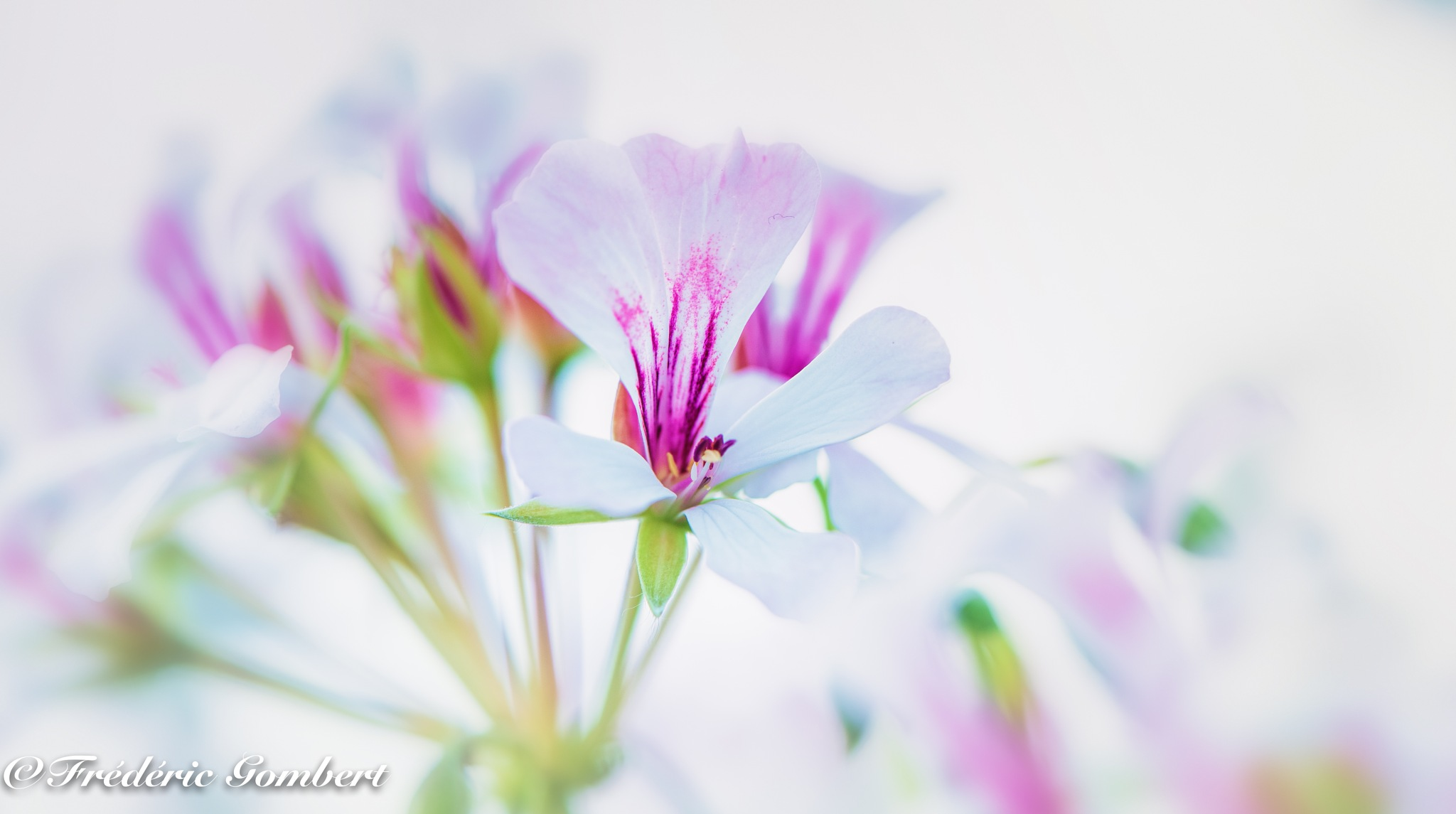 White in Spring by Frederic Gombert