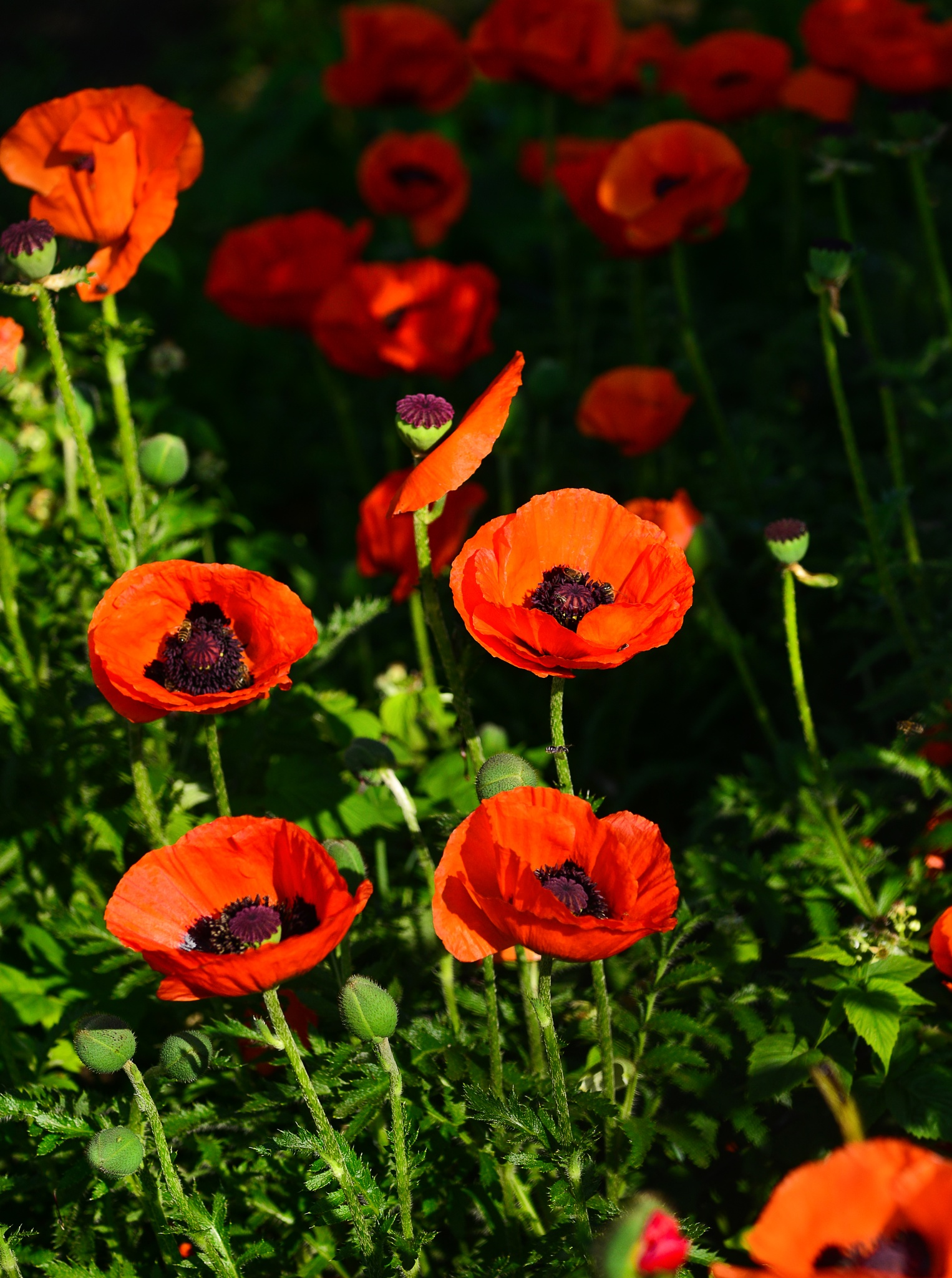 Photo in Nature #poppy #flower #flowers #red #nature #summer #beautiful #beauty #vladimir lis #field #spring