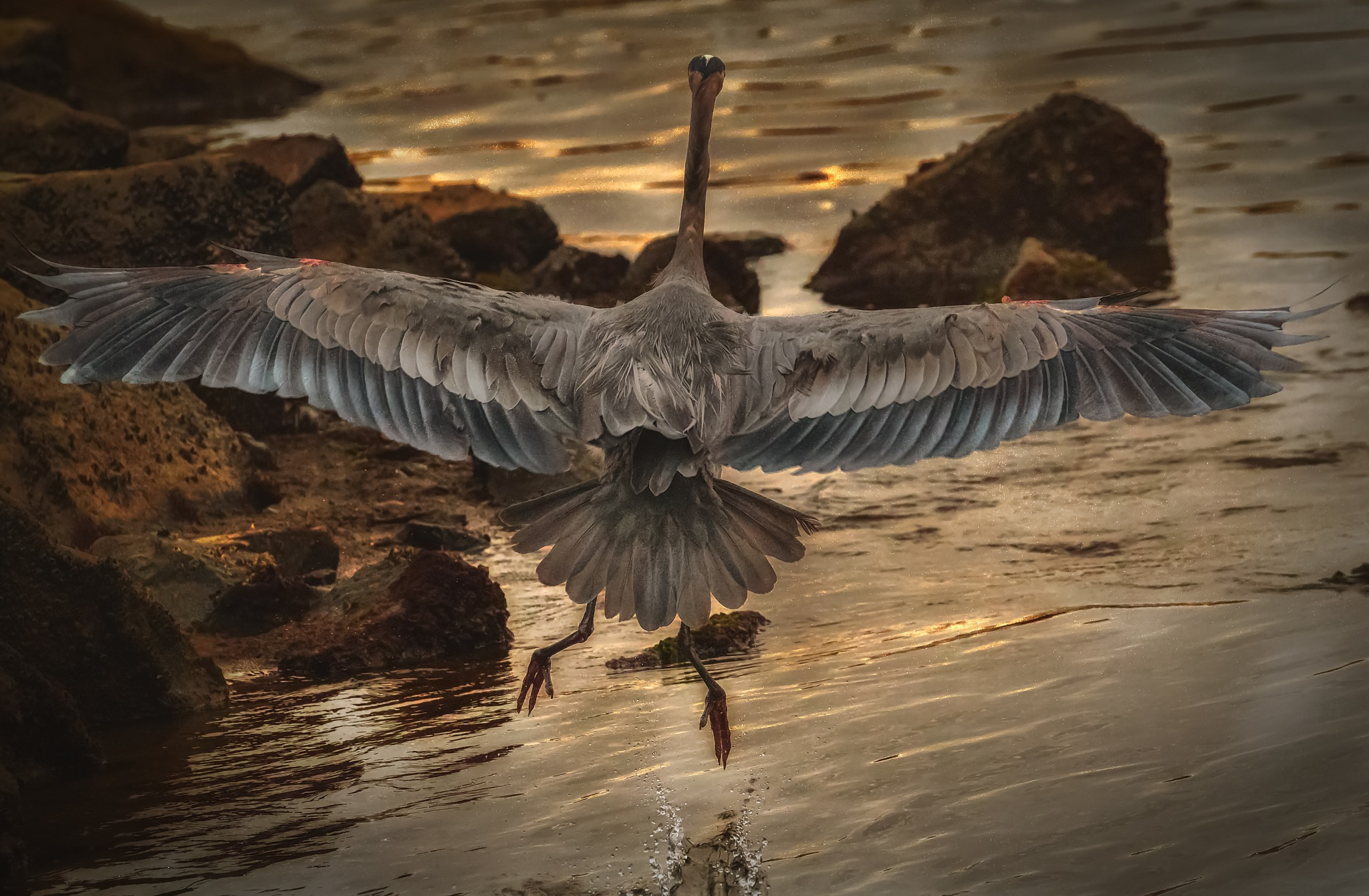 NIght flight of Great Blue by Boris Droutman