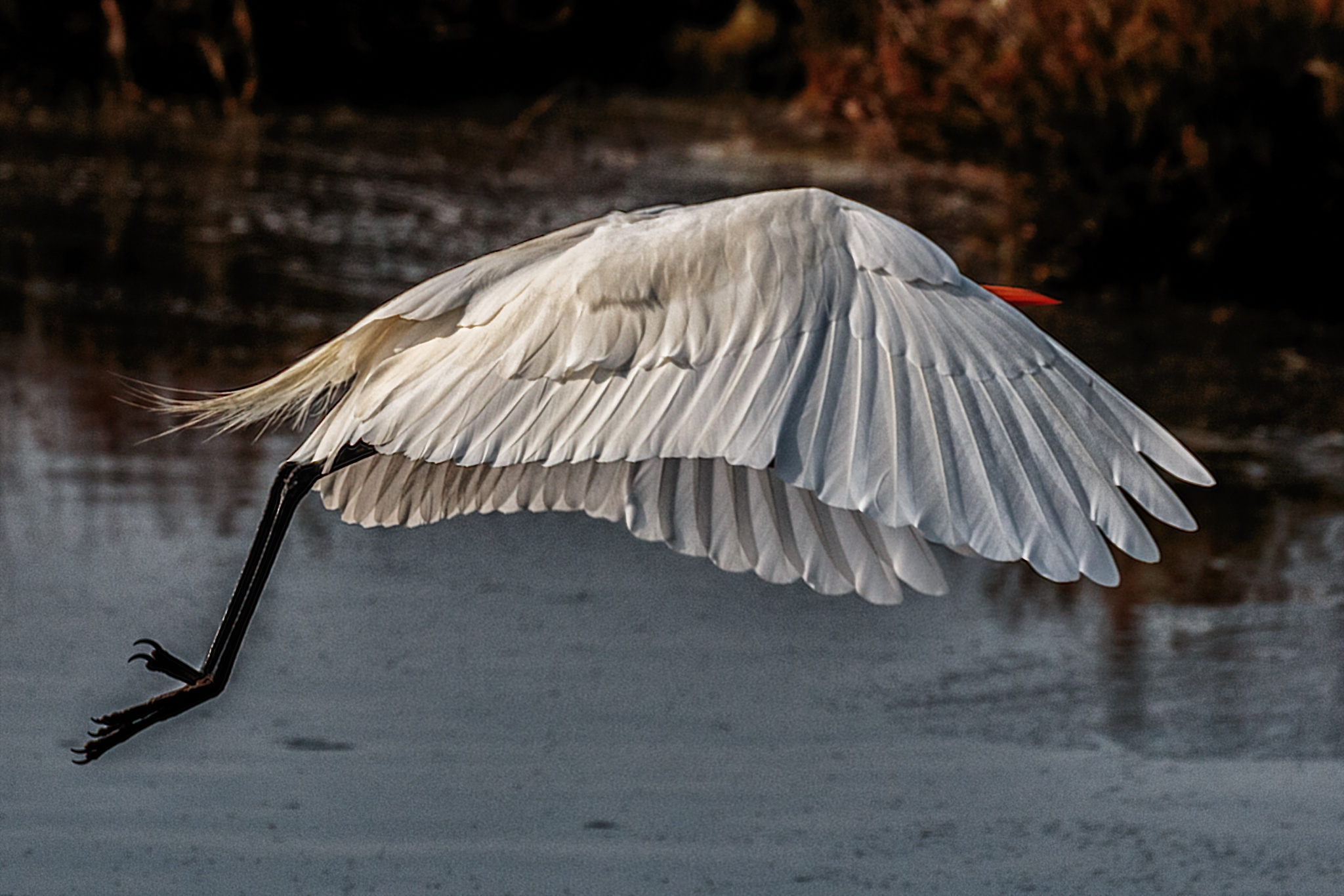 Flap of the wings (great egret) by Boris Droutman