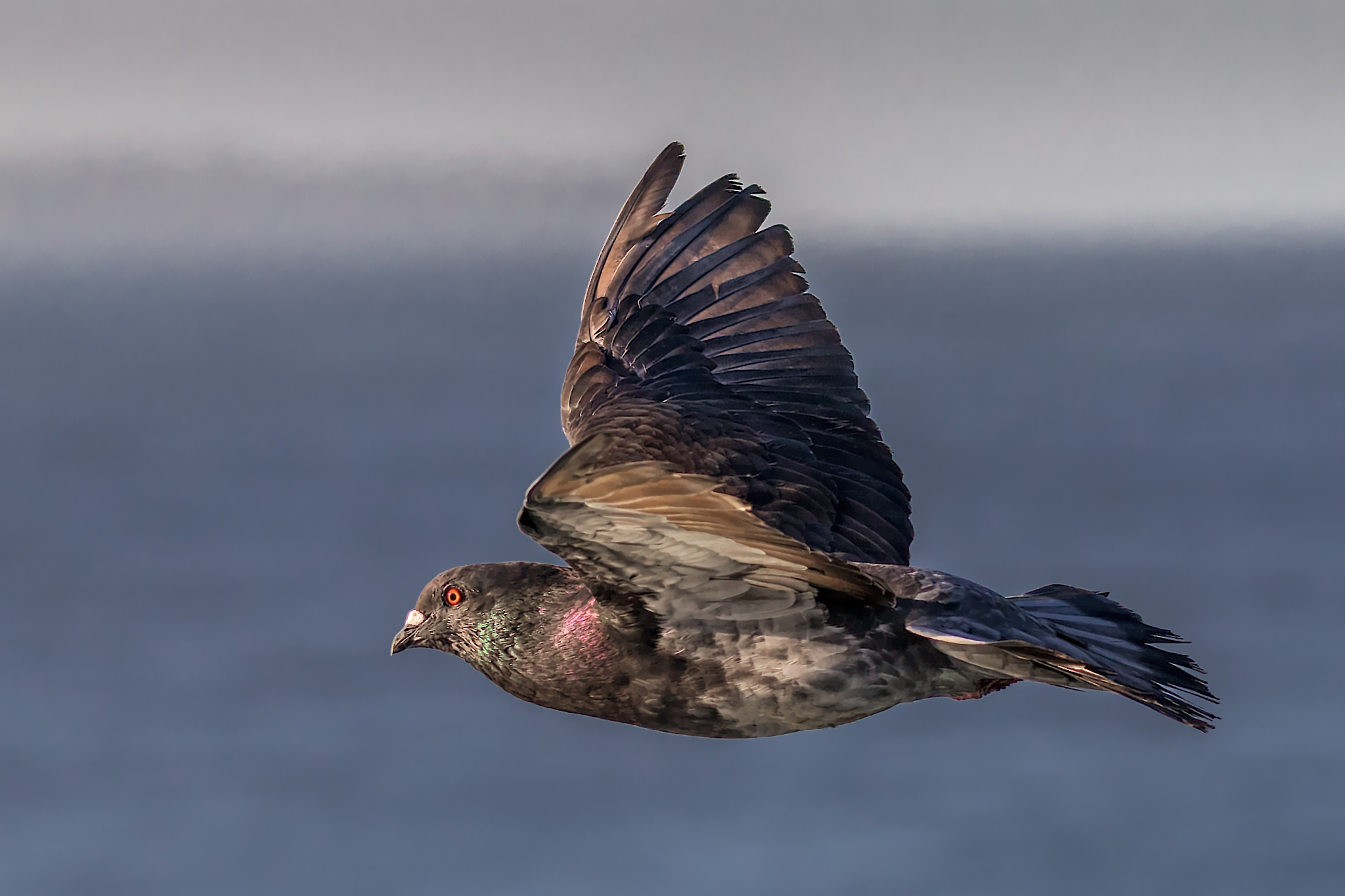 Flying pigeon by Boris Droutman