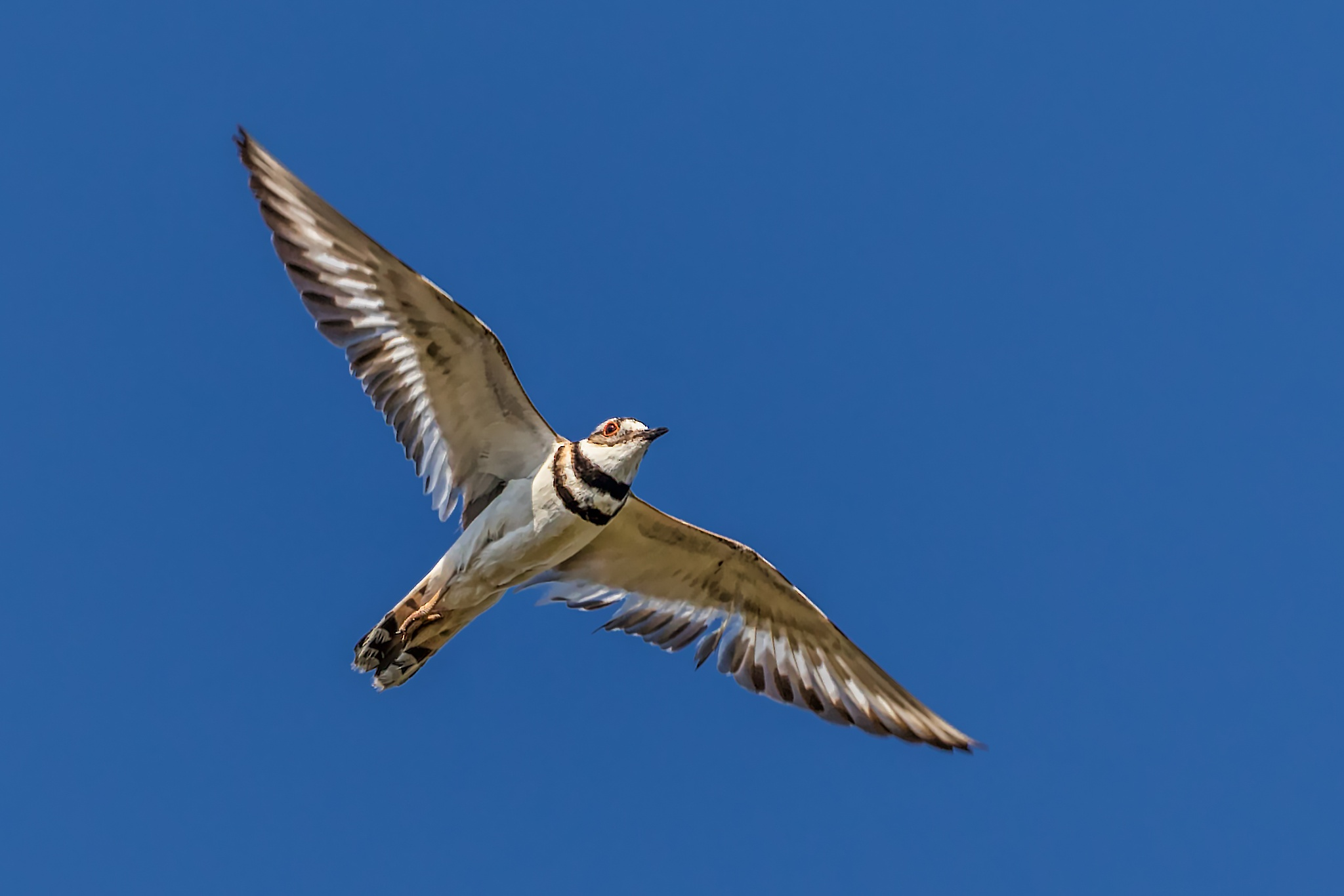 Spread your wings (killdeer) by Boris Droutman