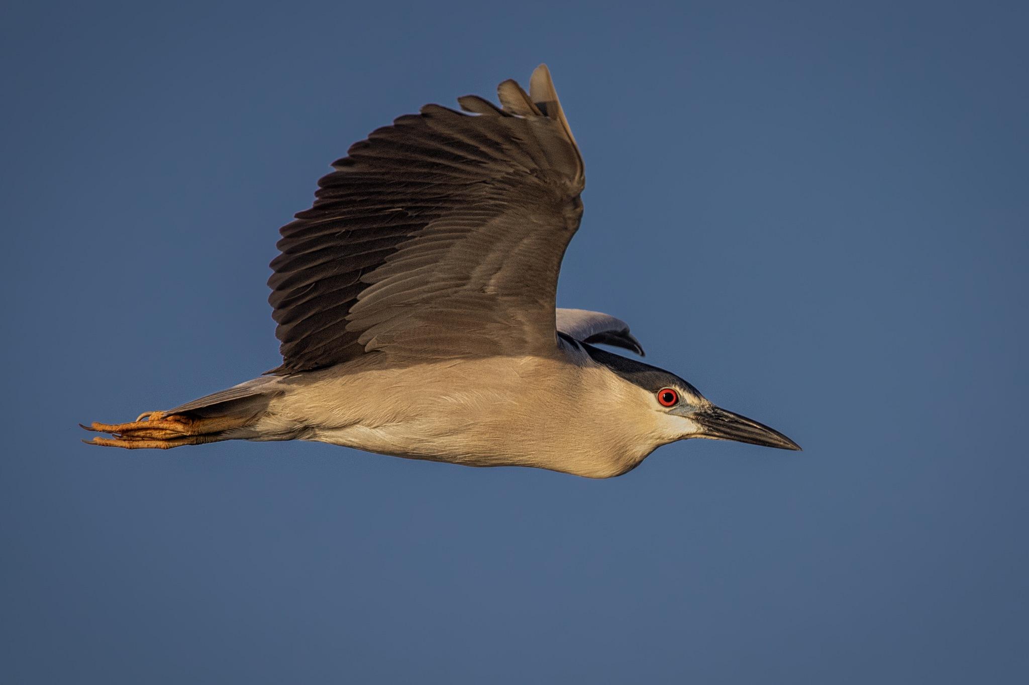 Black-crowned night heron flyby by Boris Droutman