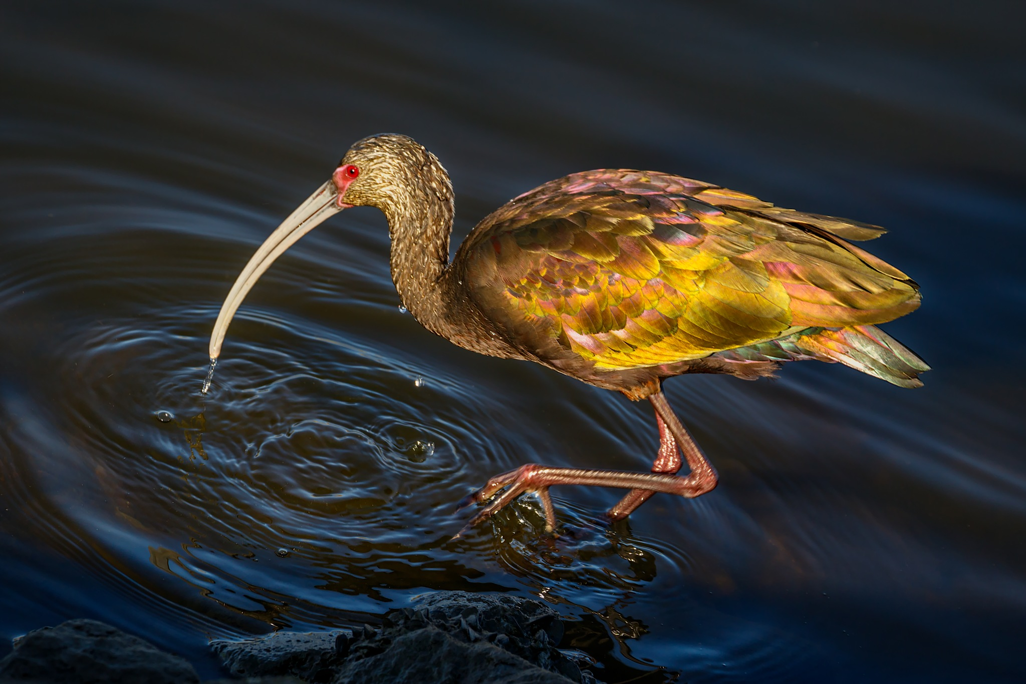 White-faced ibis... the wanderer by Boris Droutman