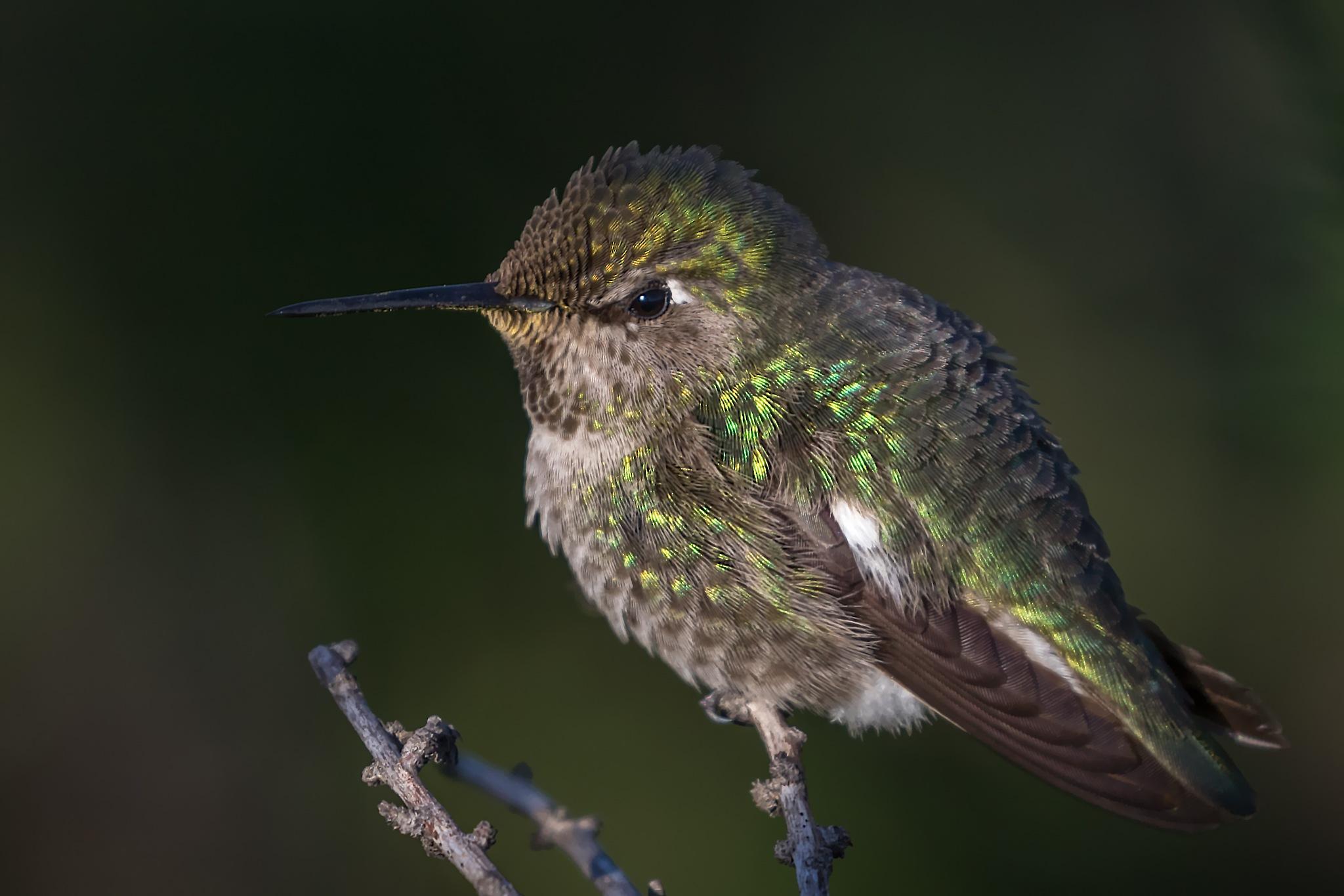 Anna's Hummingbird  by Boris Droutman
