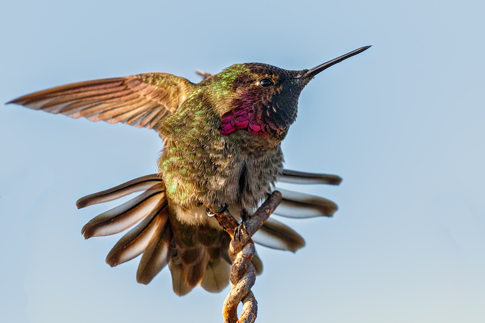 On the fence (Anna's hummingbird in a stretch) by Boris Droutman
