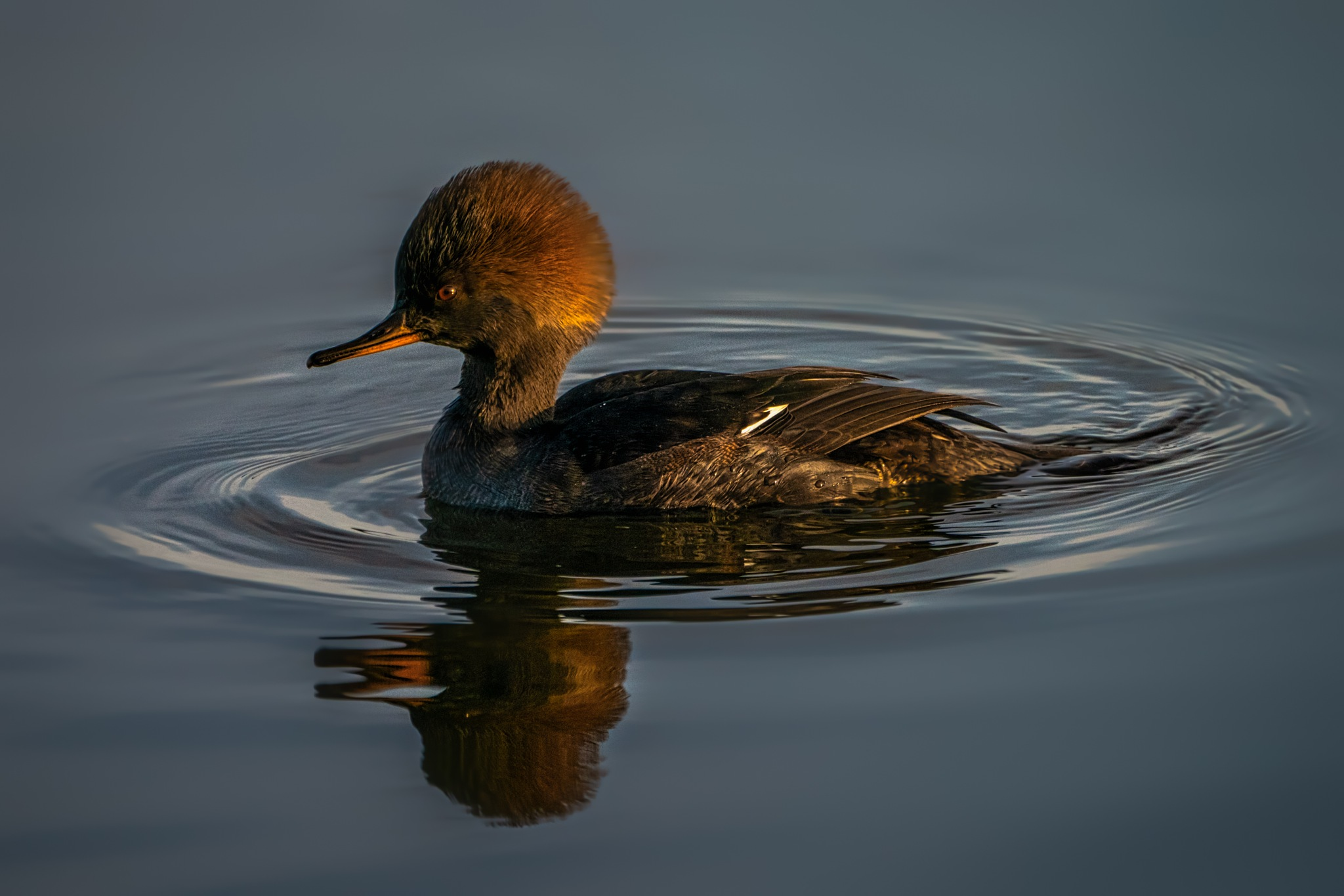 Hooded merganser at sunset by Boris Droutman