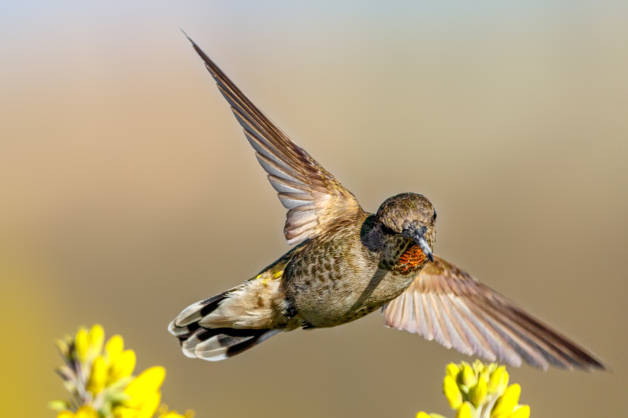 Sharp turn (Anna's hummingbird) by Boris Droutman