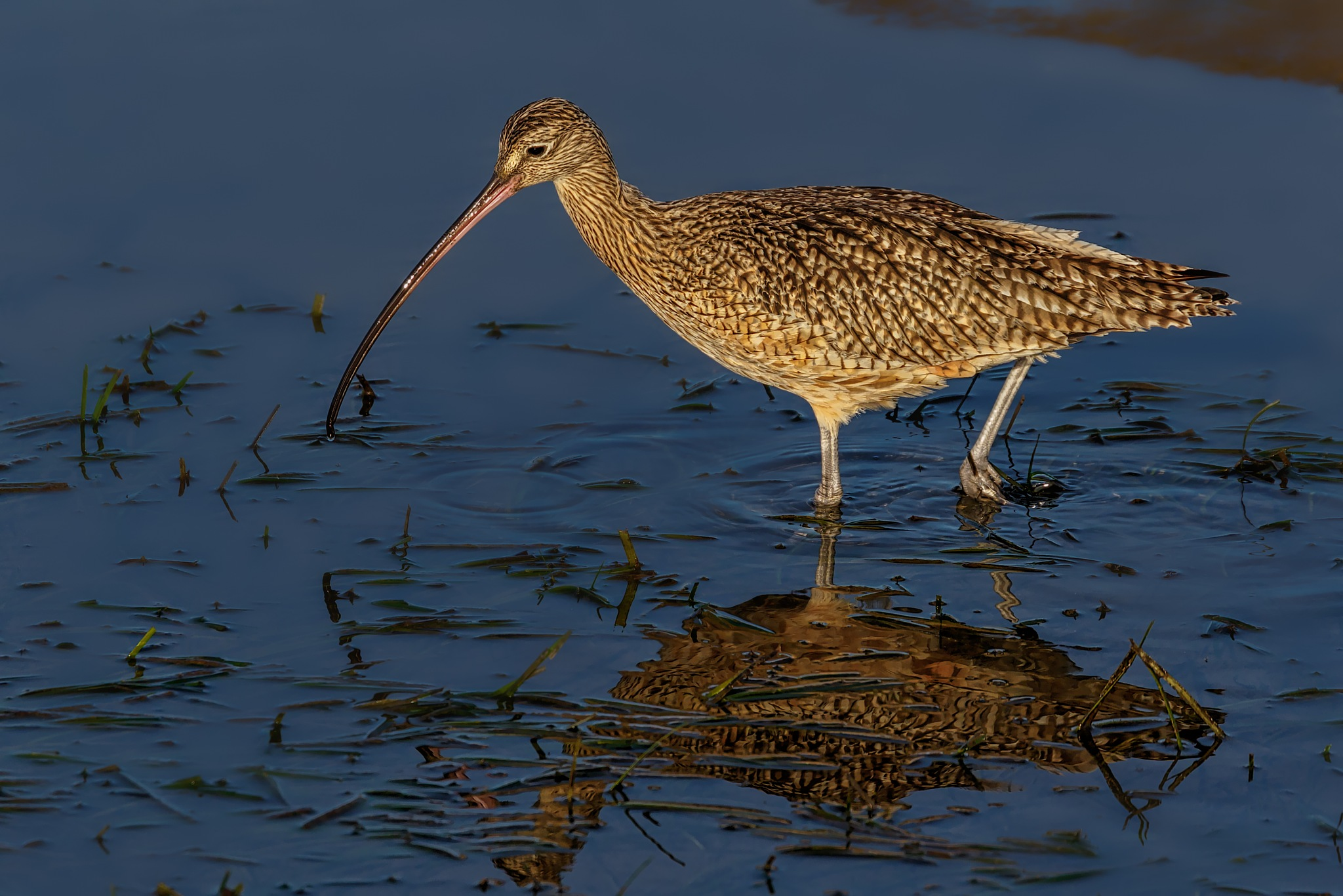 Long-billed curlew by Boris Droutman