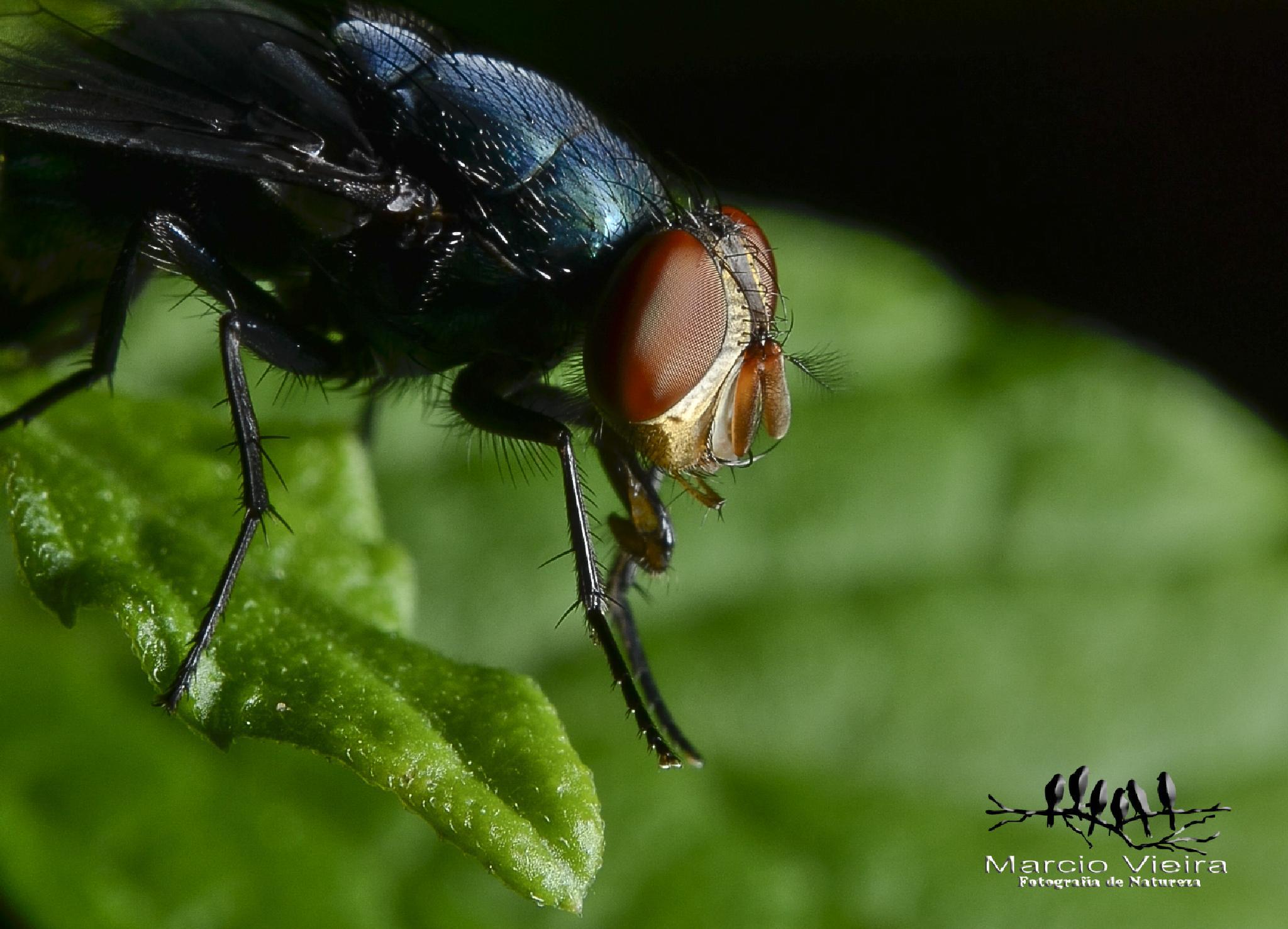 Mosquito by MVIEIRA