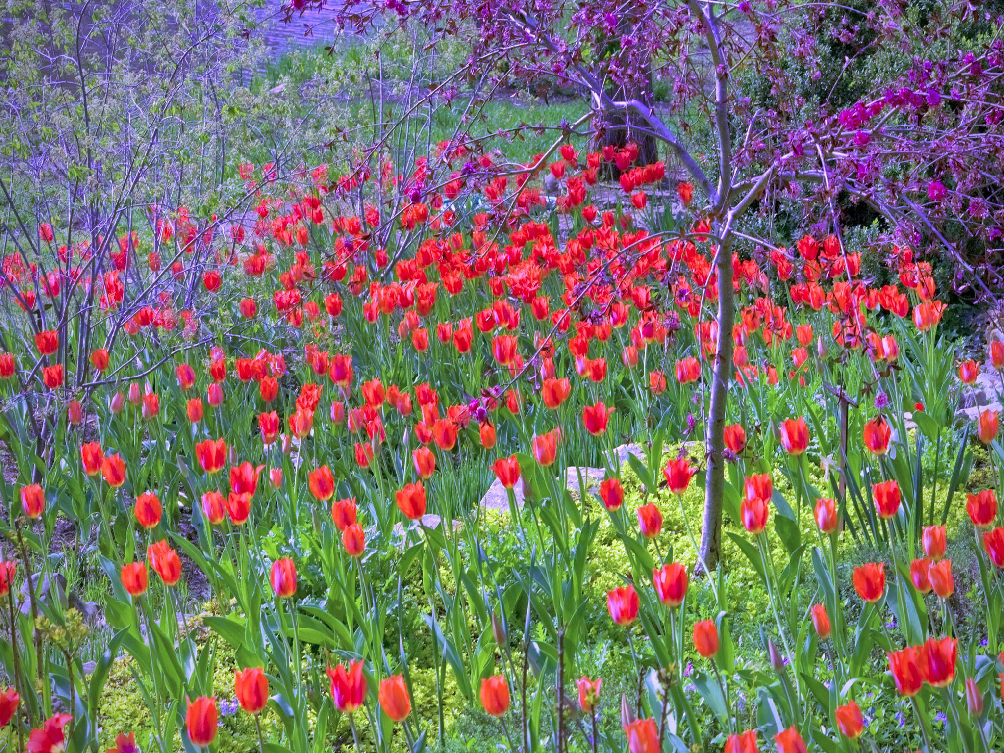 Tulip Time by Layne Adams