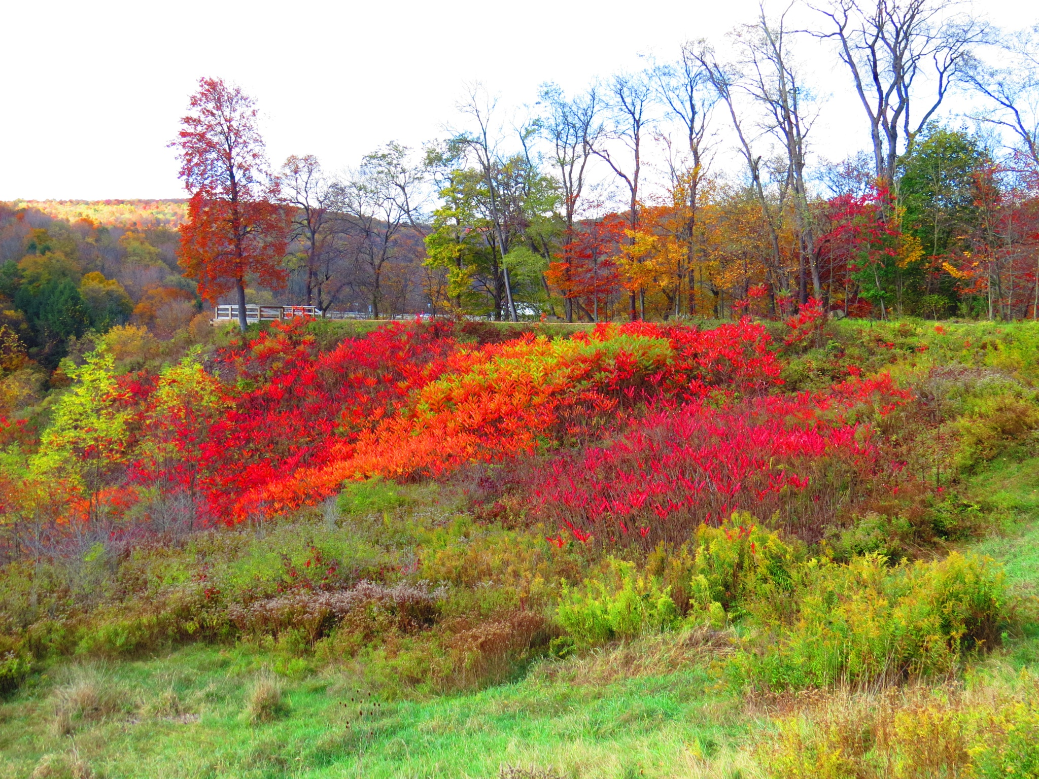 Sumac shrubs all red in color. by Becky Krug