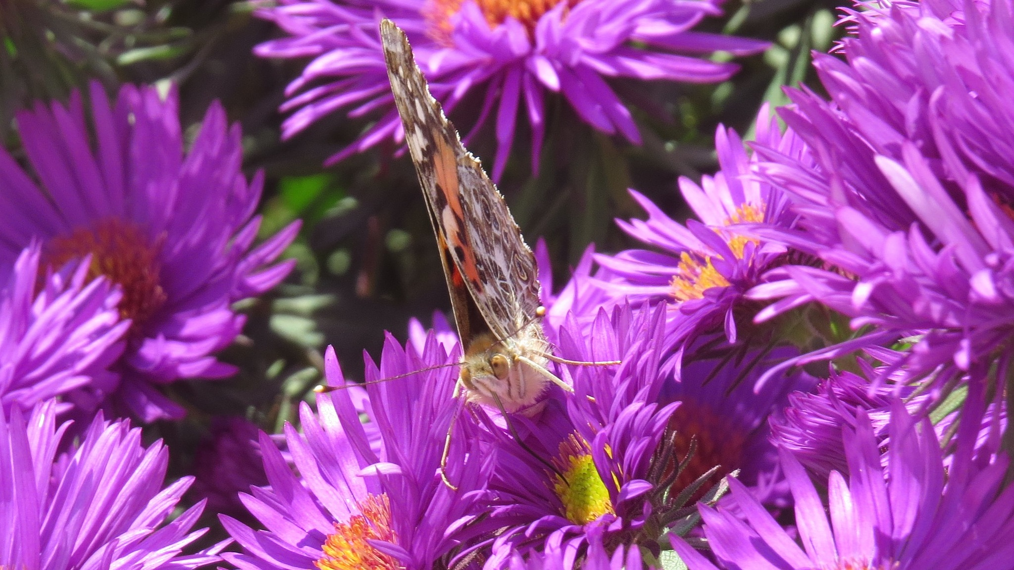 painted lady by Becky Krug