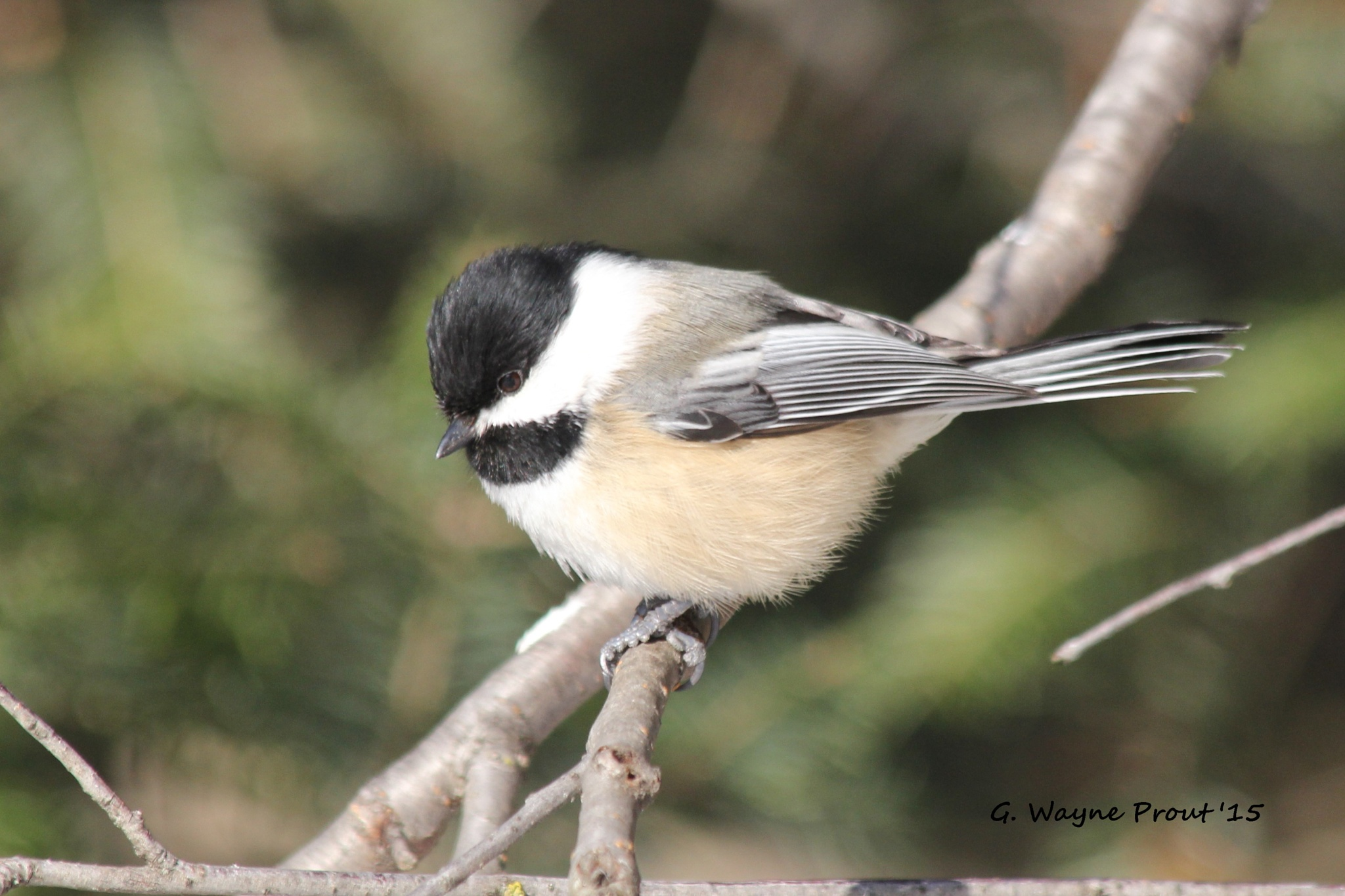 Black-capped Chickadee (Poecile atricapillu) by gwprout