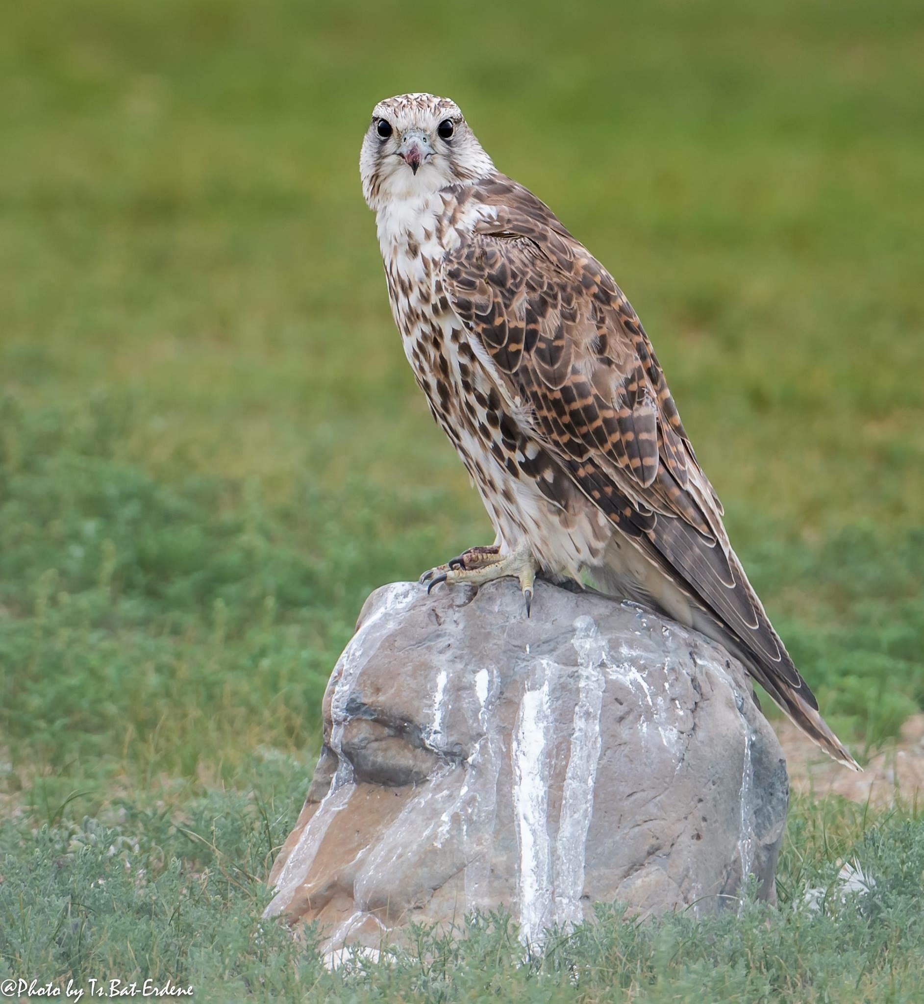 Falcon on the stone, wich stone looks like a man.  by Tsedendamba Baterdene