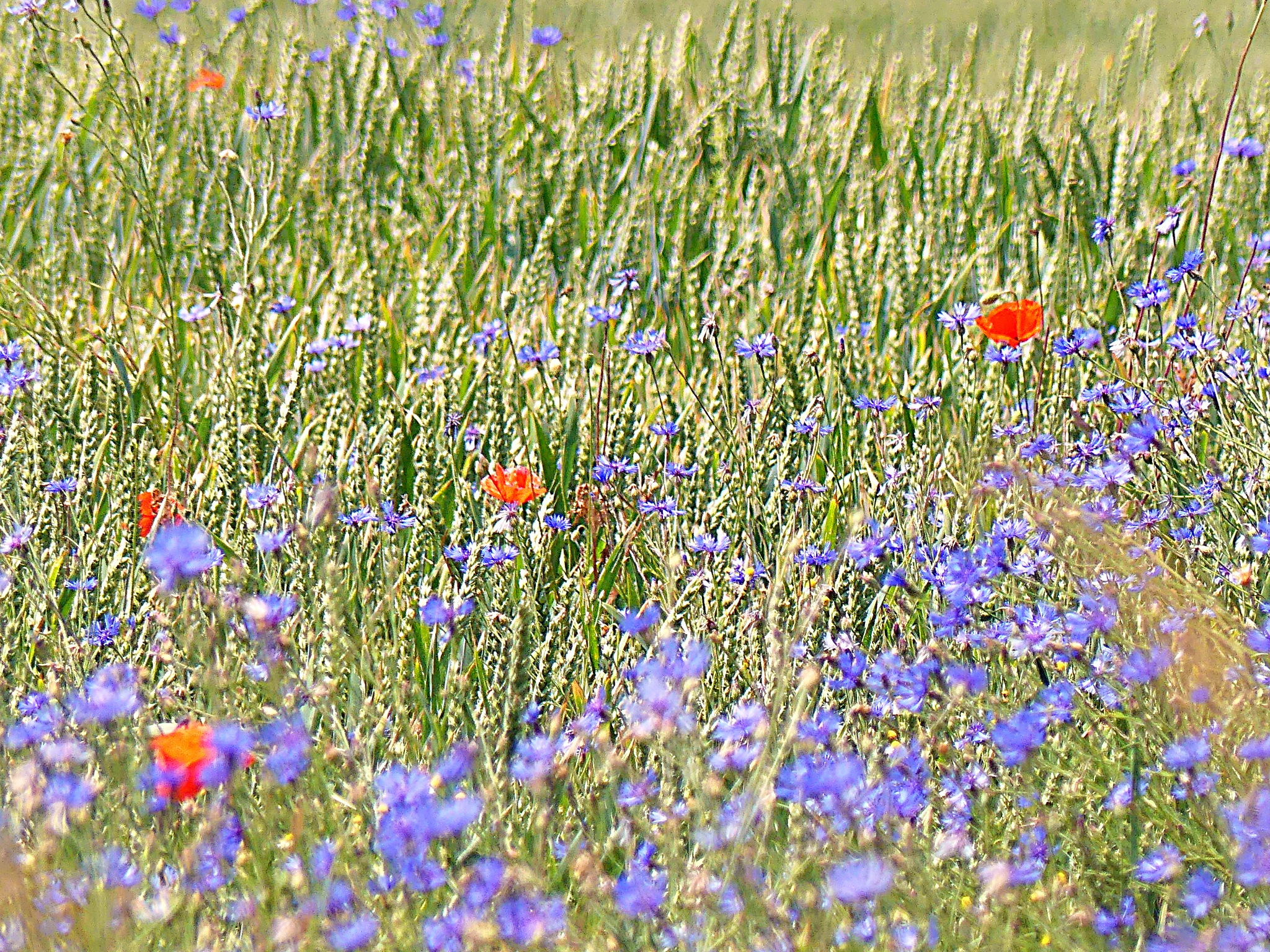 Cornflowers and poppies by Michal Vrtílek
