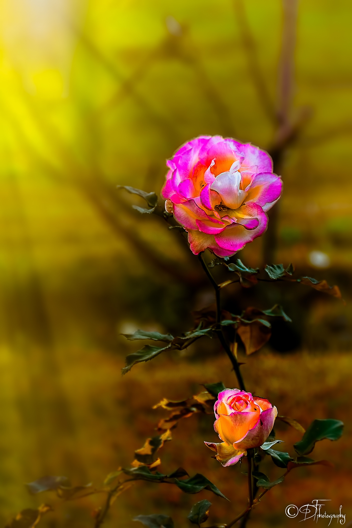 pink rose by DANIEL F