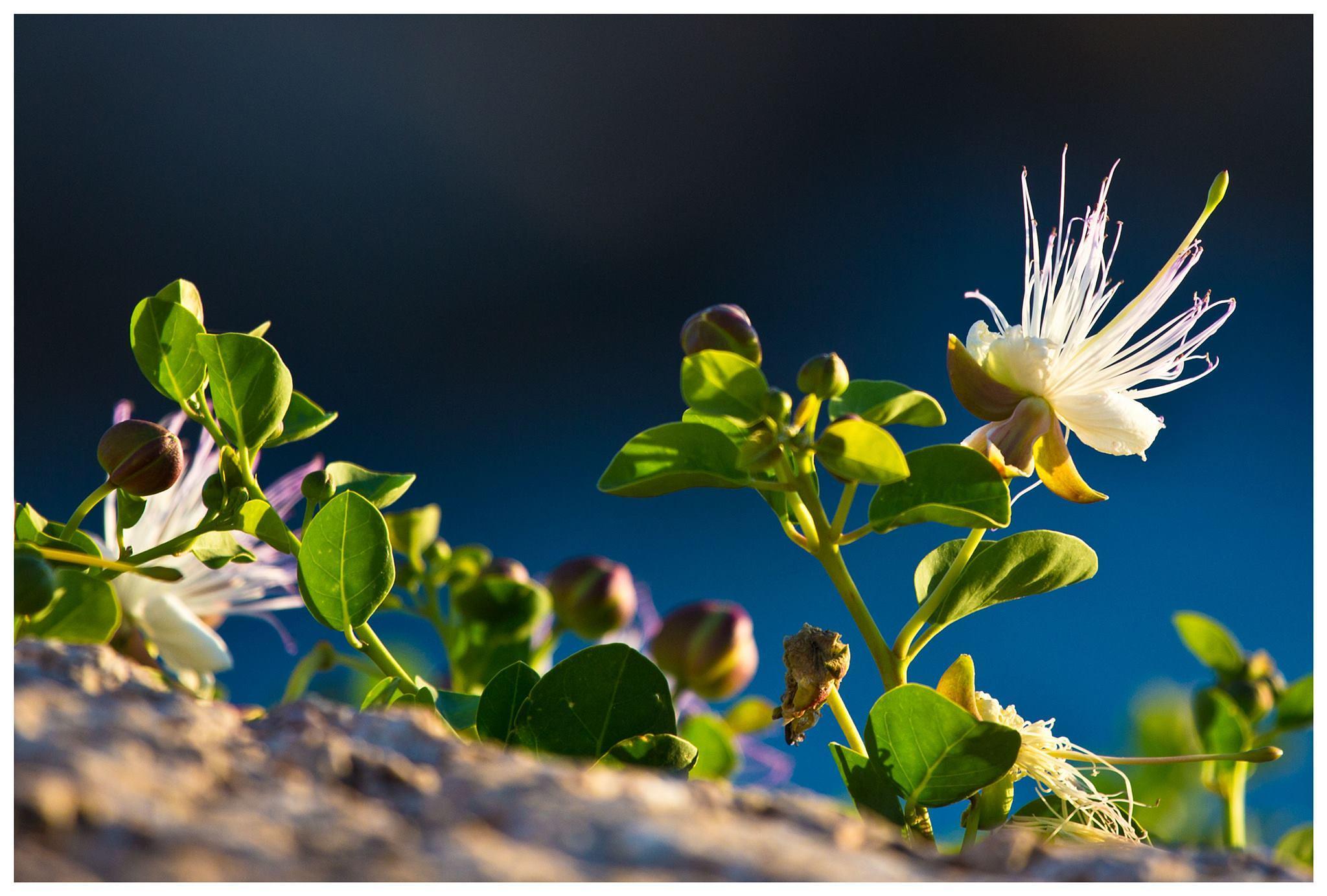 Wild Caper by Joe Muscat