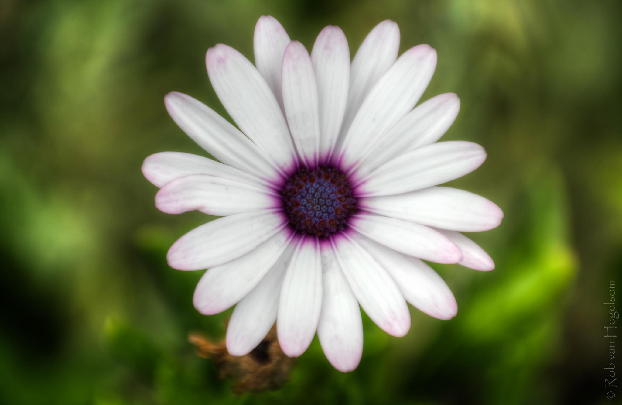 African daisy by rvanhegelsom