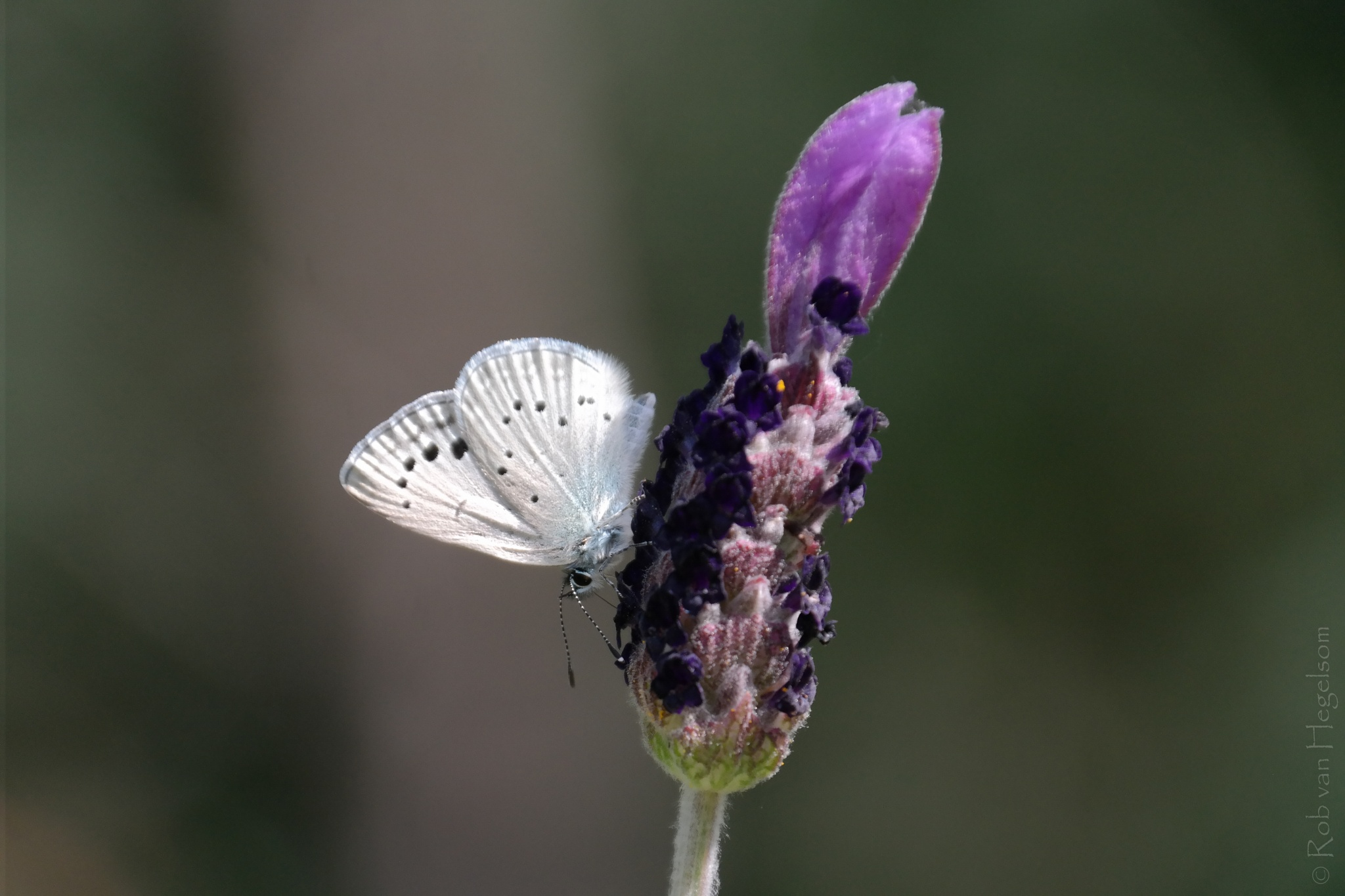 Lavender butterfly by rvanhegelsom
