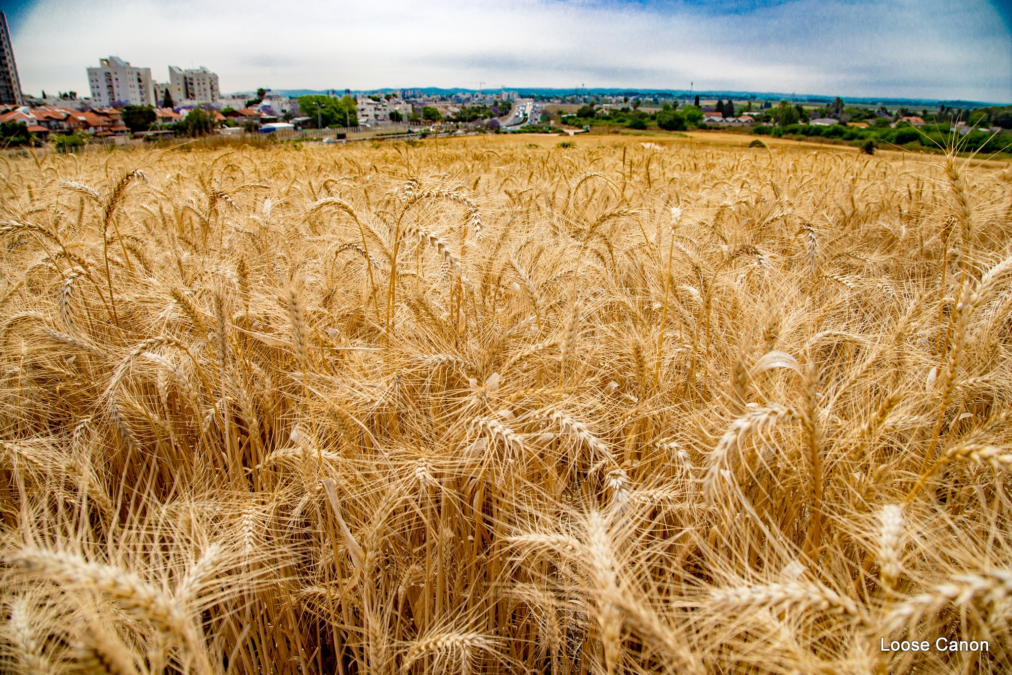 Wheat City by LooseCanon