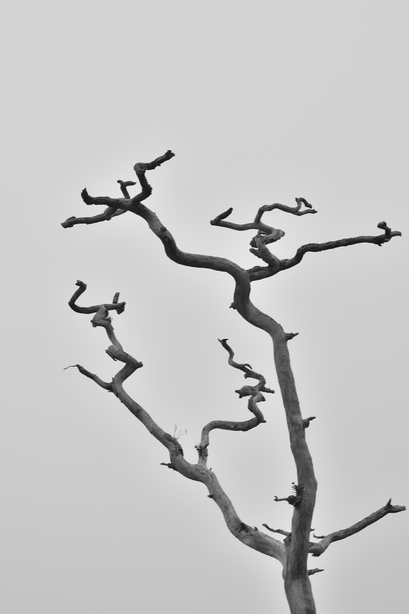 Photo in Abstract #tree #dry #branches #black and white #nature #abstract #curves #masinagudi #india #tamil nadu