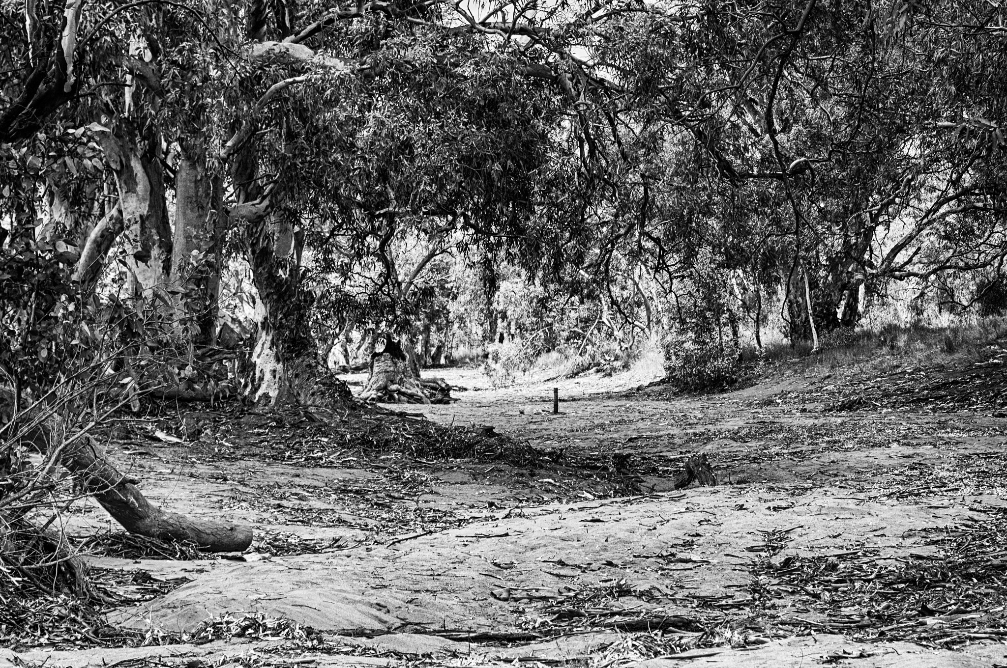 Photo in Black and White #dry #bed #riverbed #river #trees #red #gum #tree #black&white #sand #outback #drought #leafs #leaf