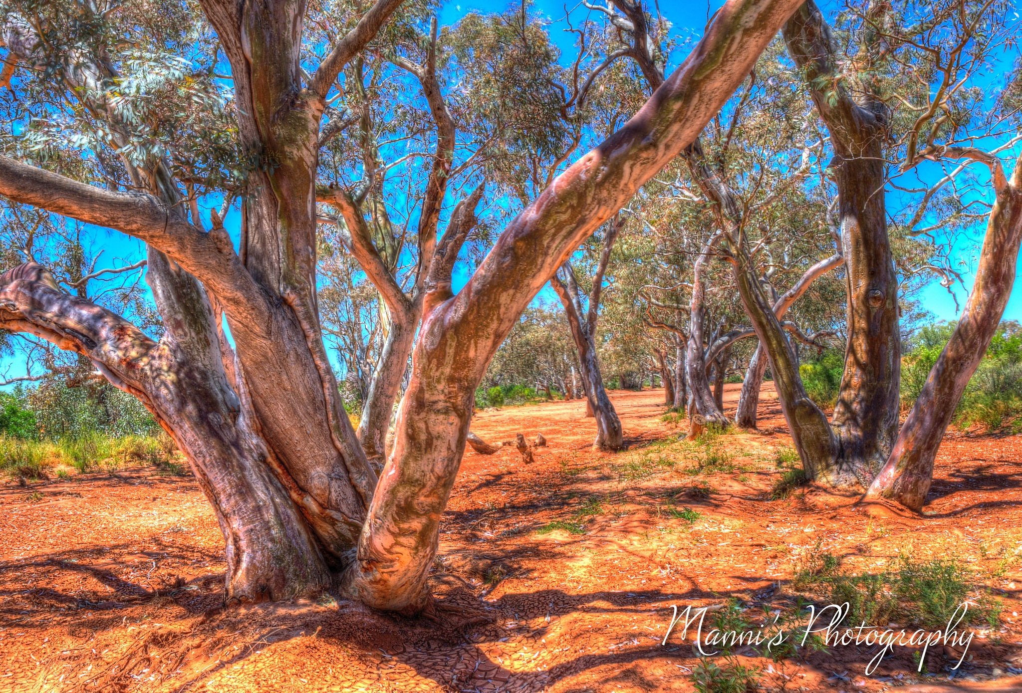 Red Gum Trees in Dry Riverbed by Manni