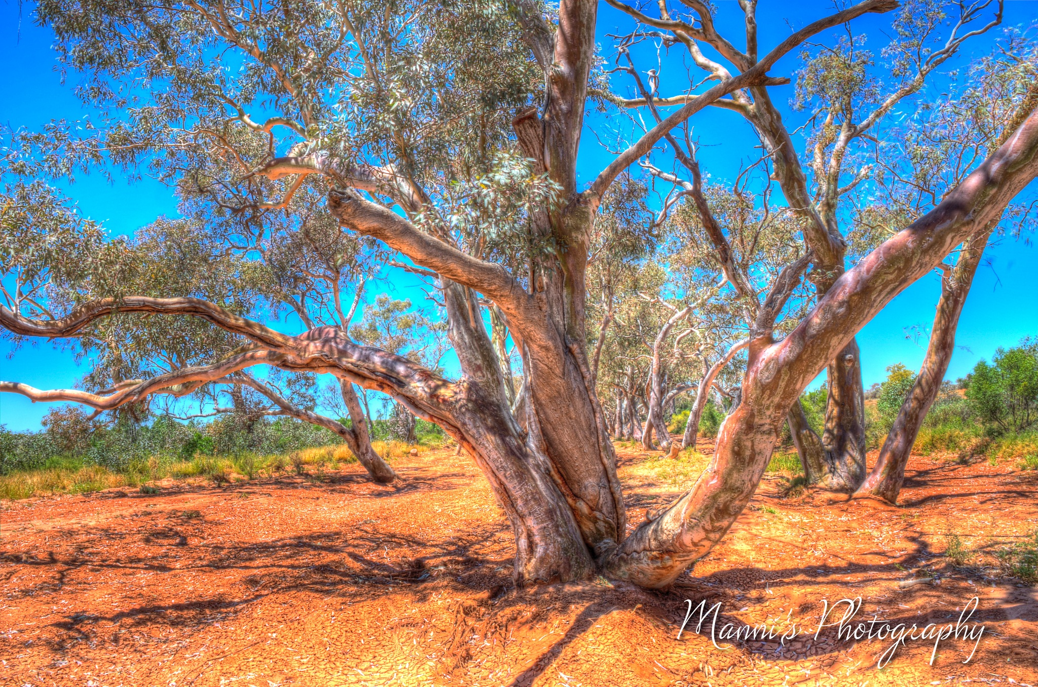 River Red Gum Tree by Manni
