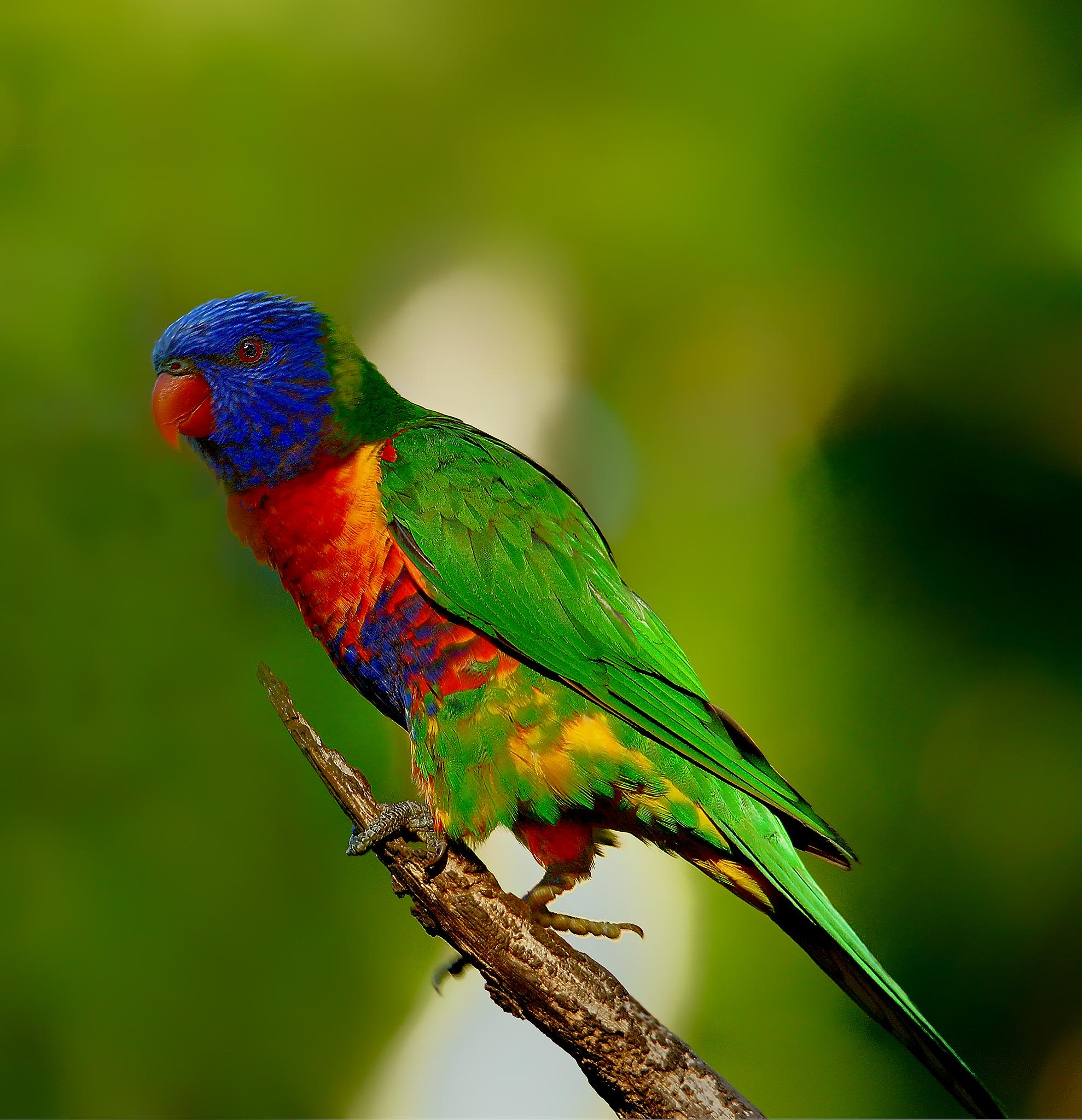 Australian Colours, Rainbow Lorakeet  by Allan Thomson