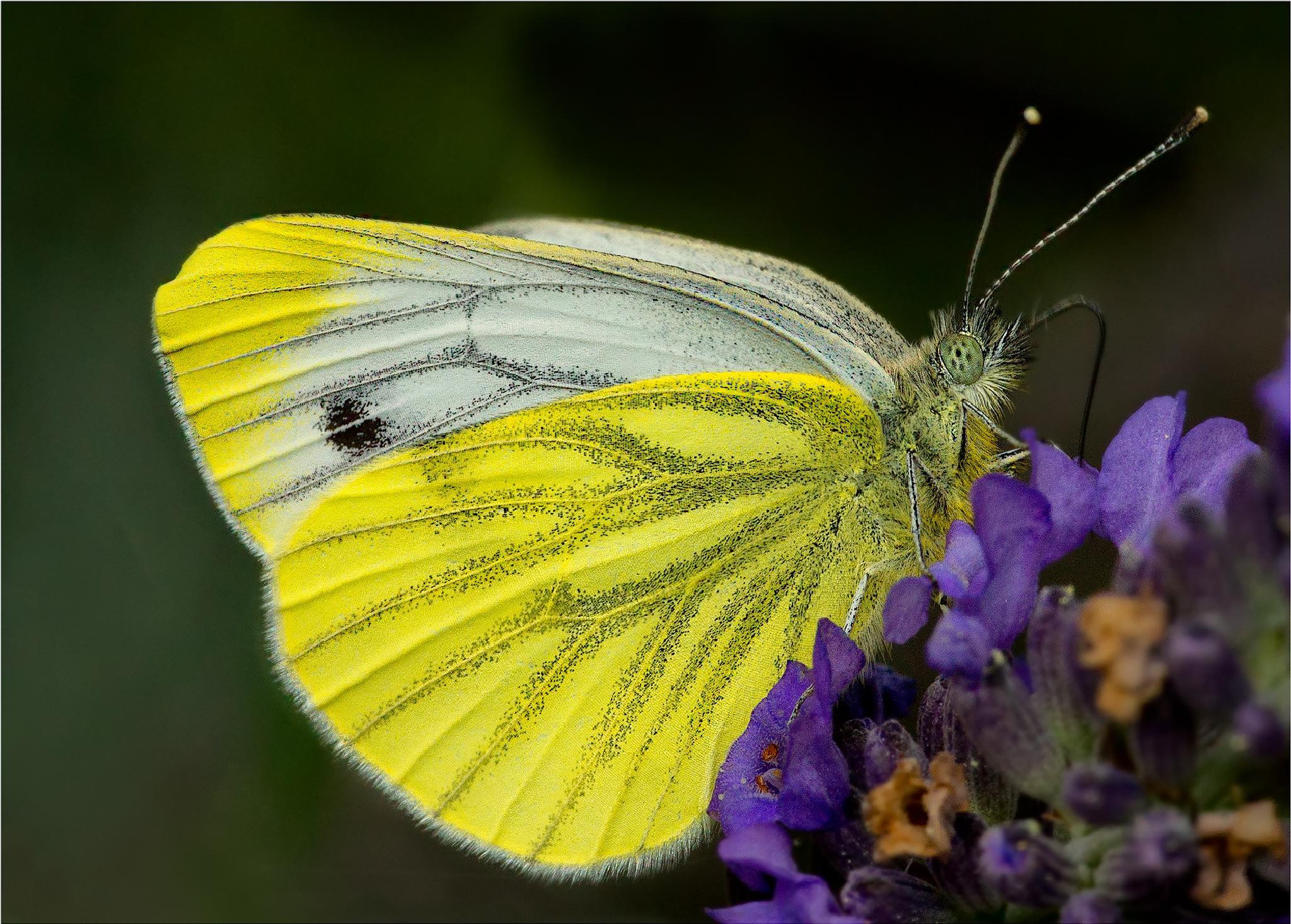 Photo in Macro #butterfly #sulphur #aussie allan #sony alfa allan