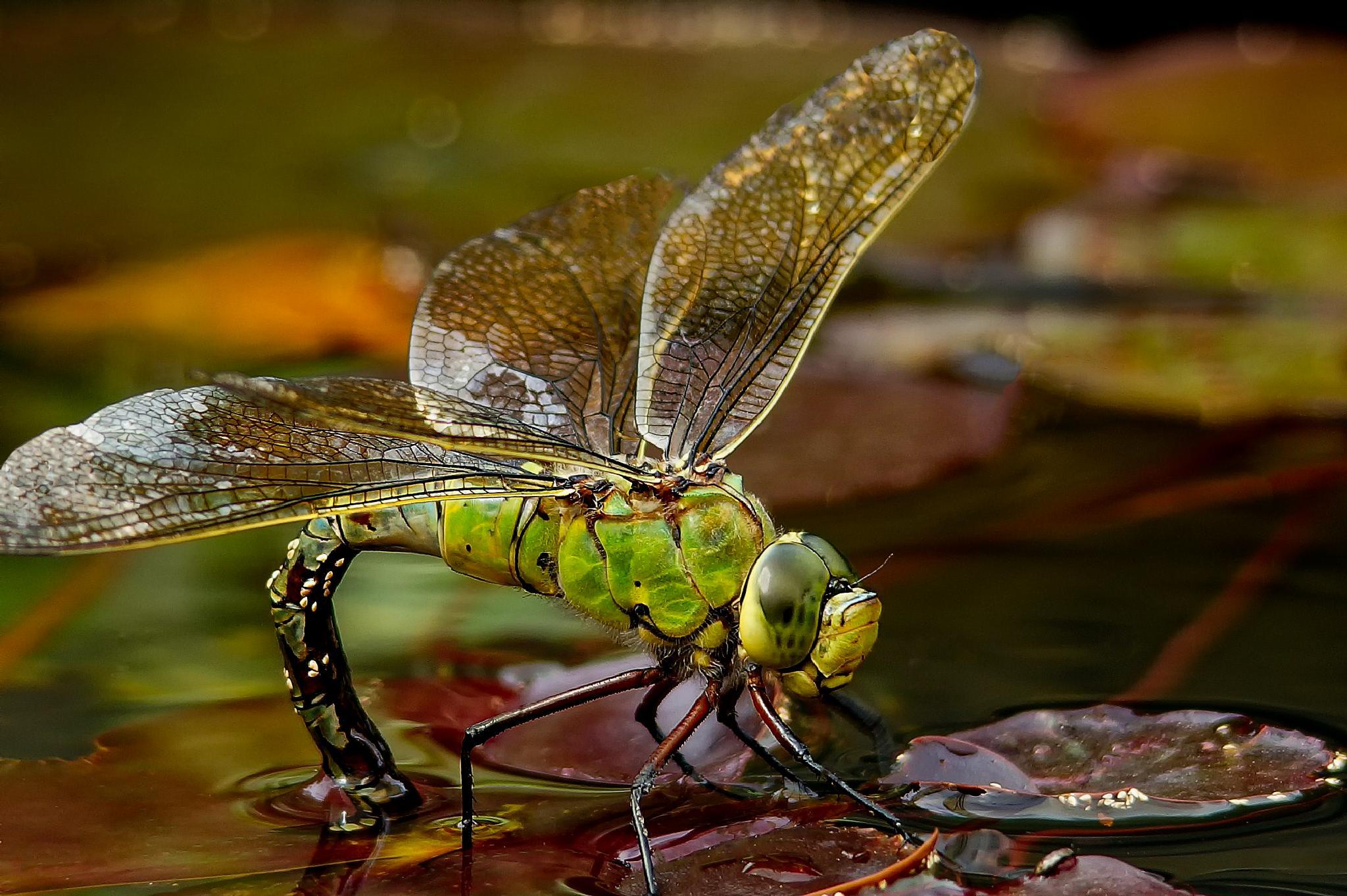 Photo in Macro #dragon fly #macro #aussie allan #sony #sigma