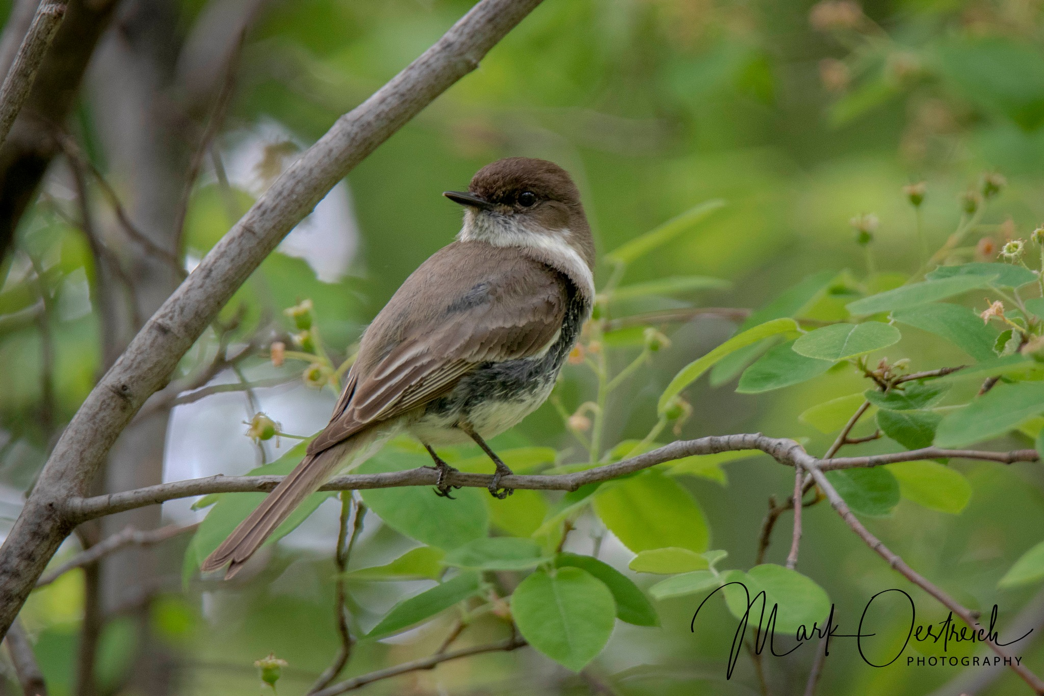 Eastern Phoebe by chinacat64