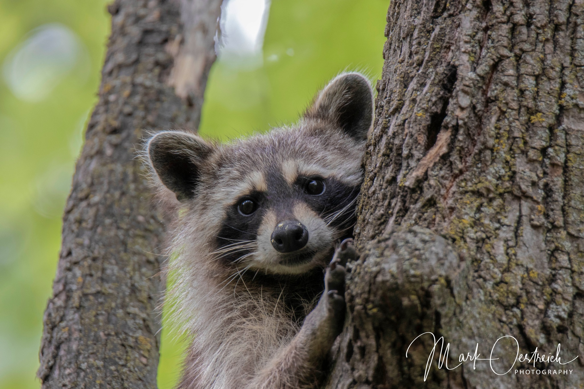 Raccoon by chinacat64
