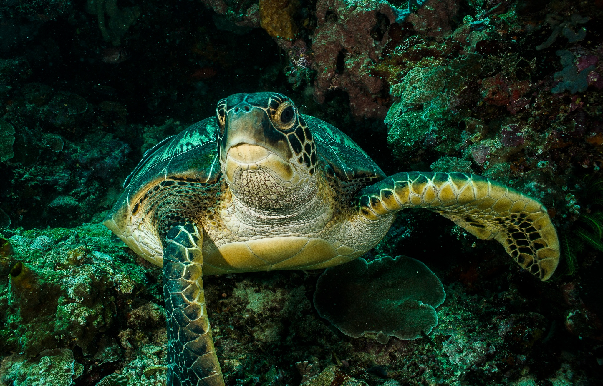 Green Sea Turtle by chinacat64