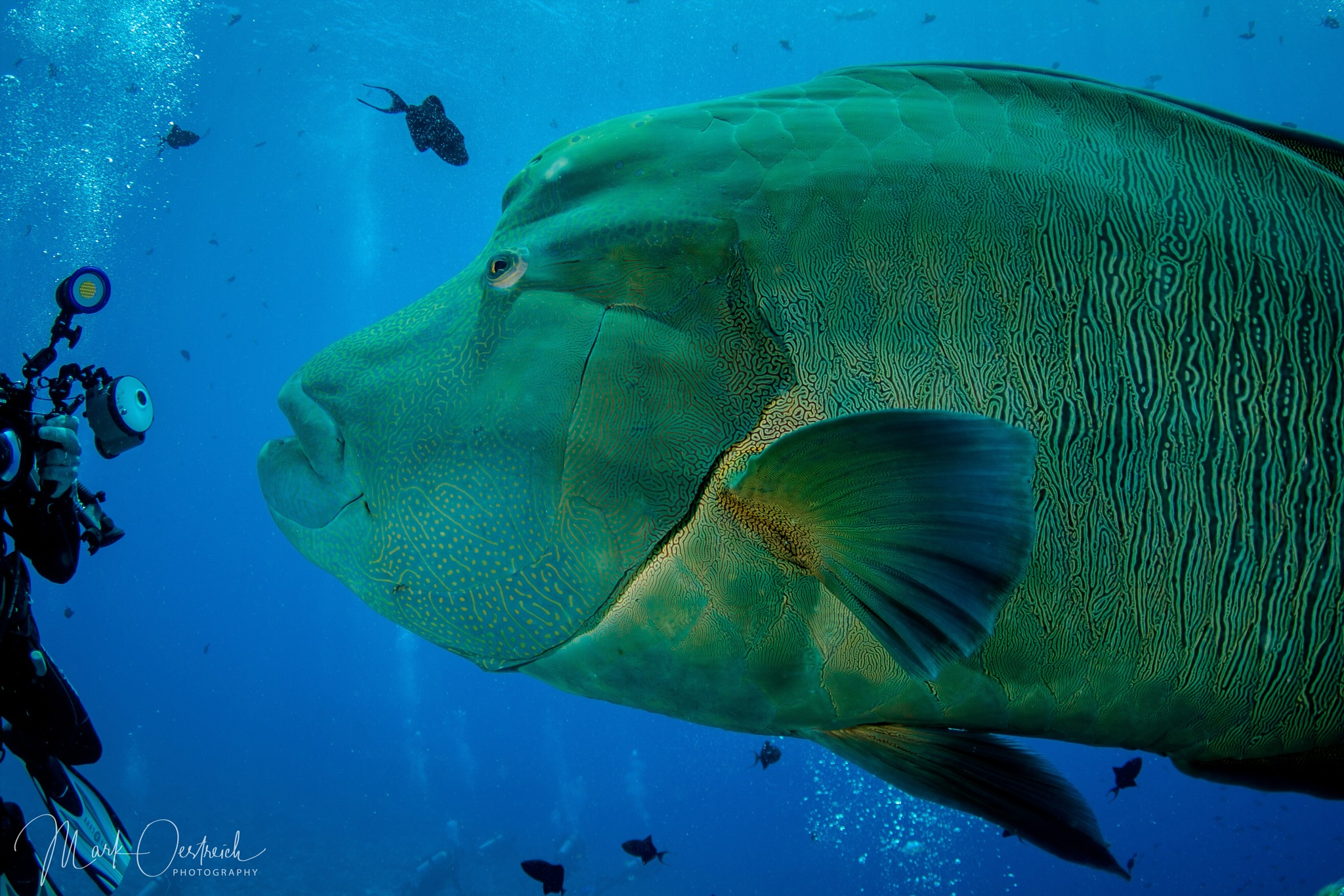 Napoleon Wrasse  by chinacat64