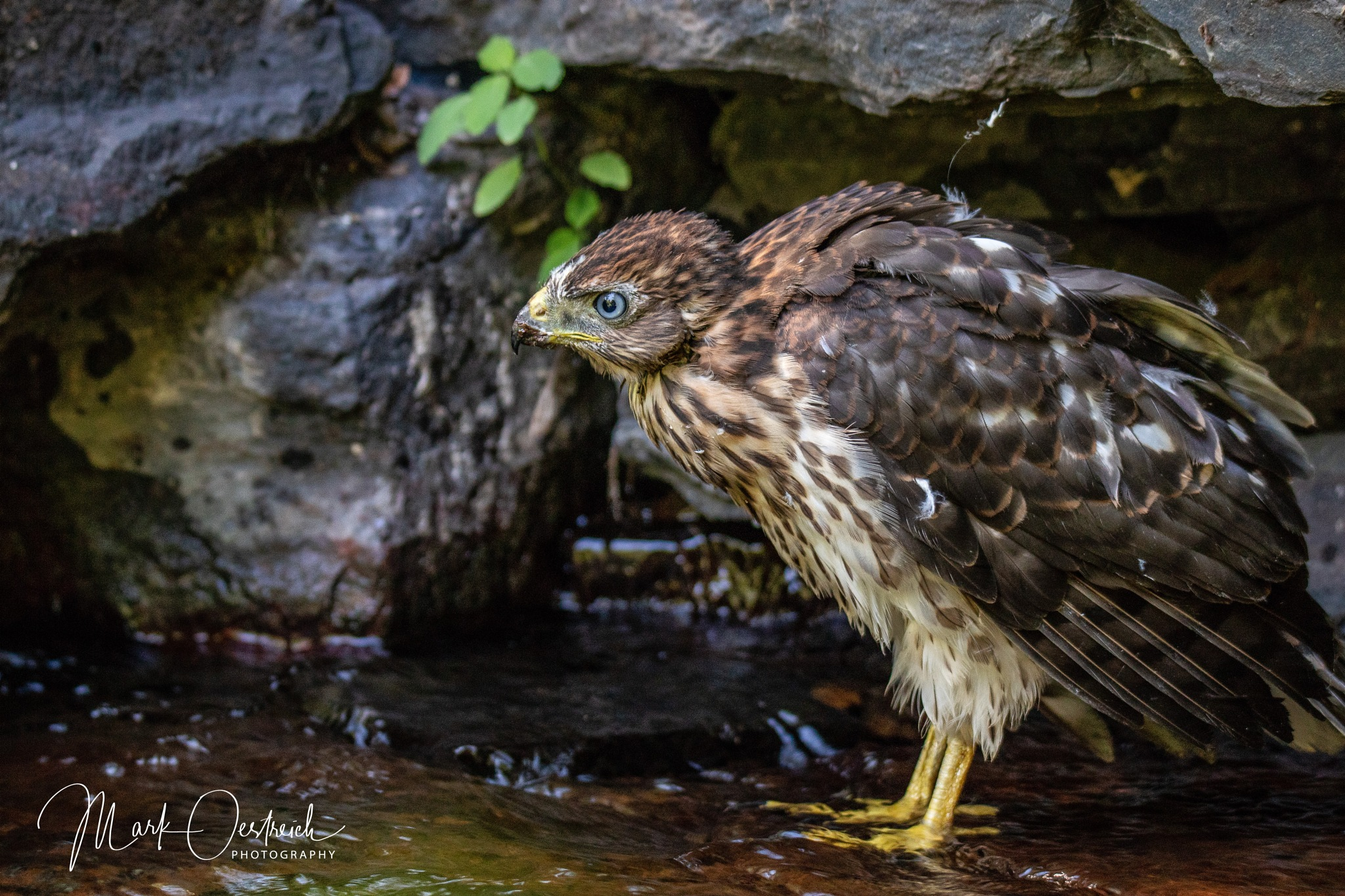 Juvenile Cooper's Hawk  by chinacat64