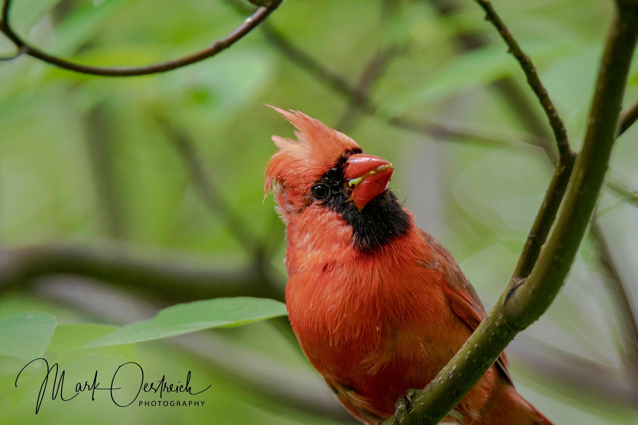 Northern Cardinal Gathering Food by chinacat64