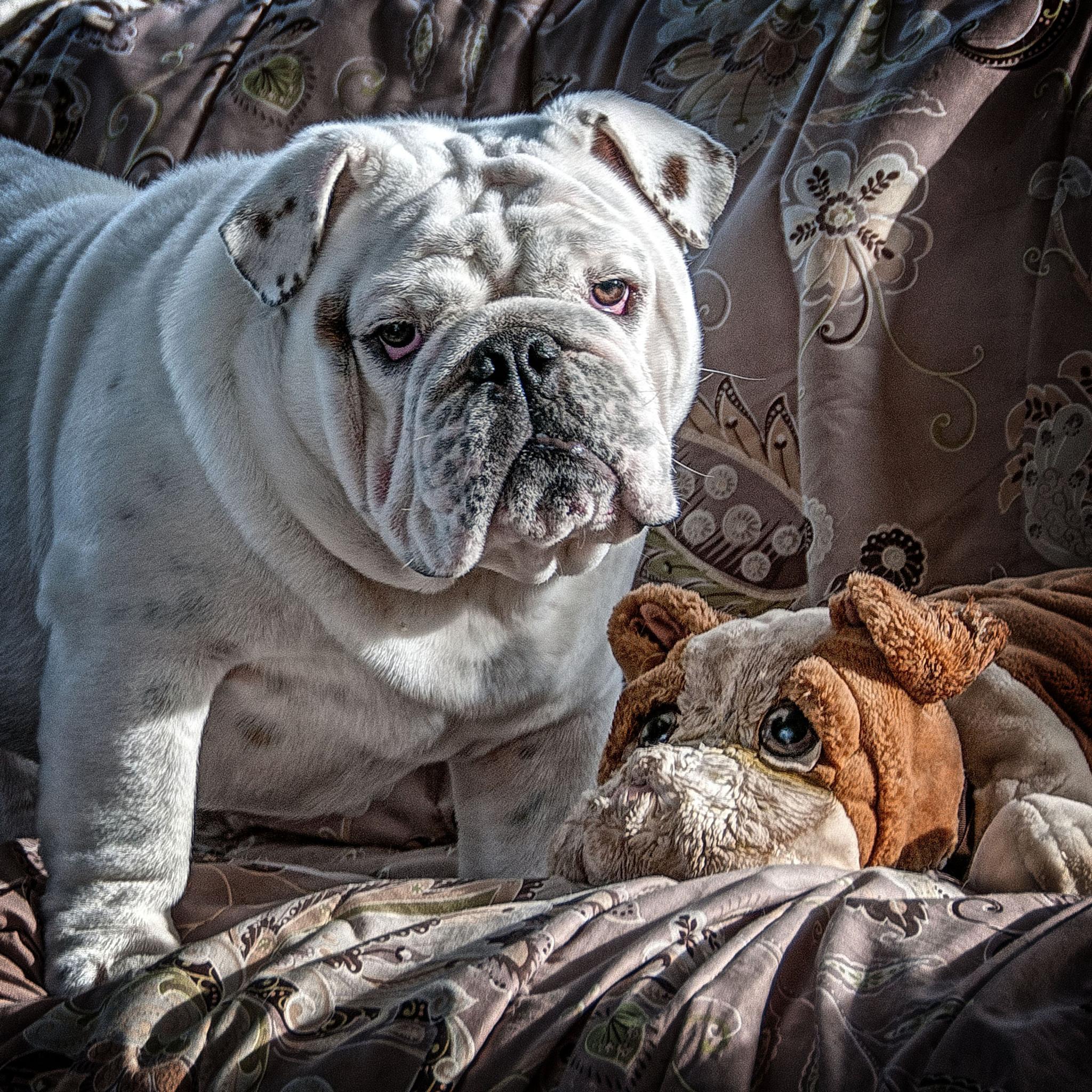 Photo in Animal #puppy #bulldog #texture