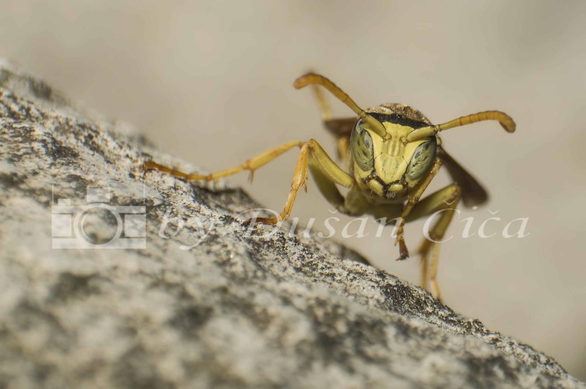 Wasp by Dušan Čiča