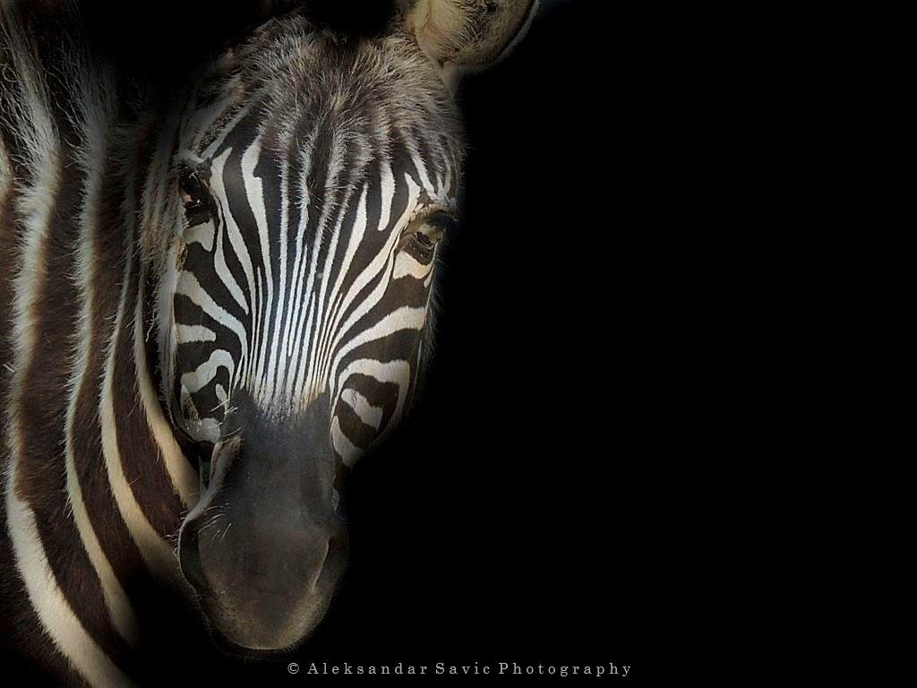 Grant's Zebra by Aleksandar Savic