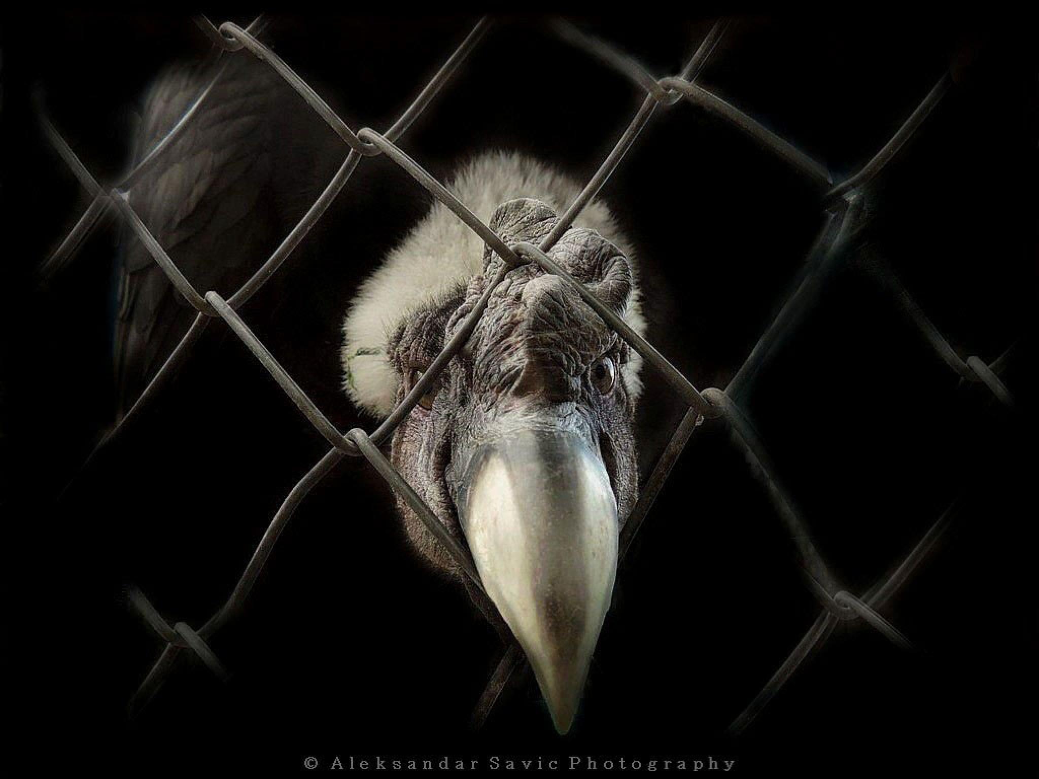 Andean Condor by Aleksandar Savic